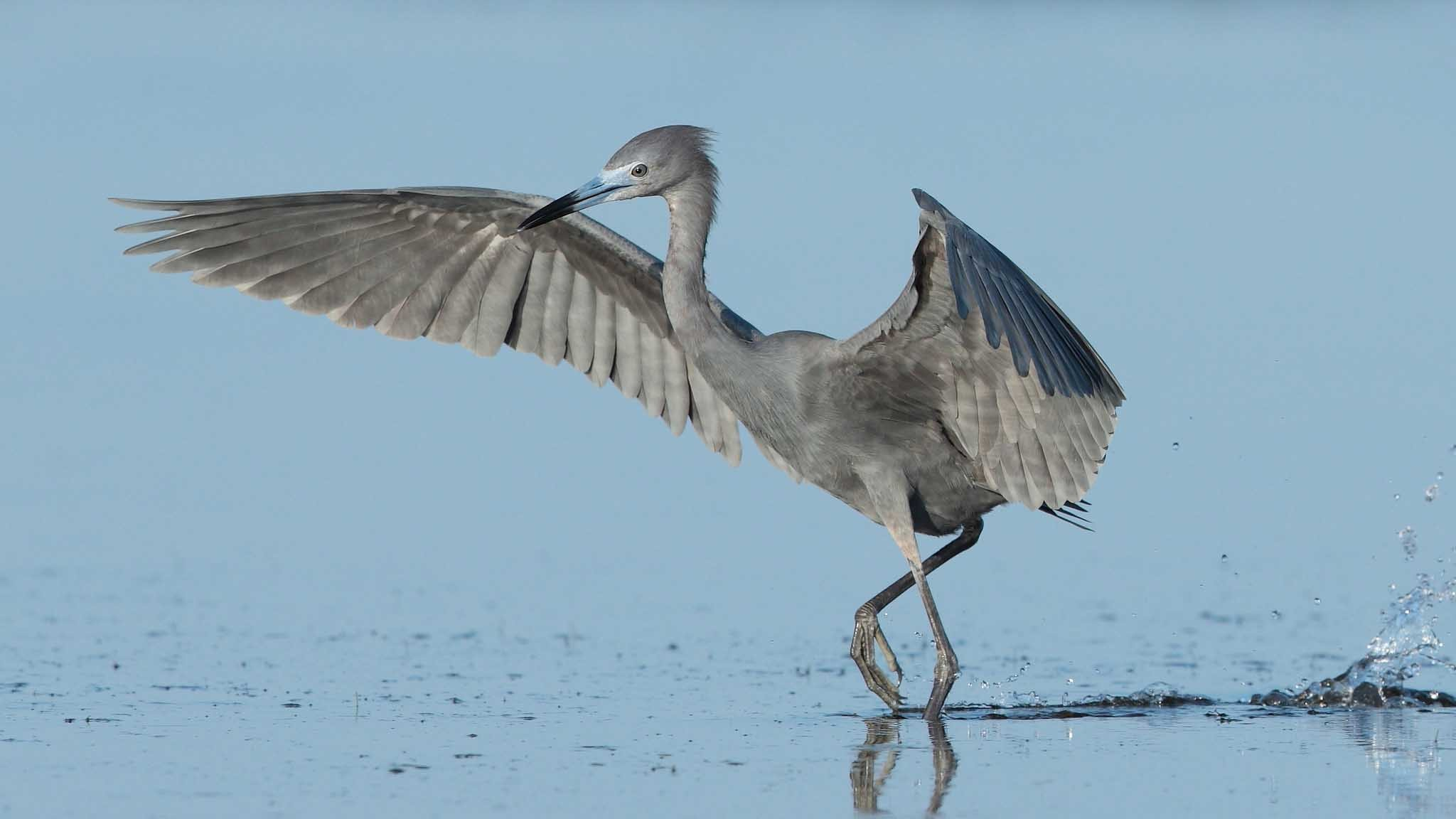 Res: 2048x1152, Blue-Heron-HD-Wallpapers