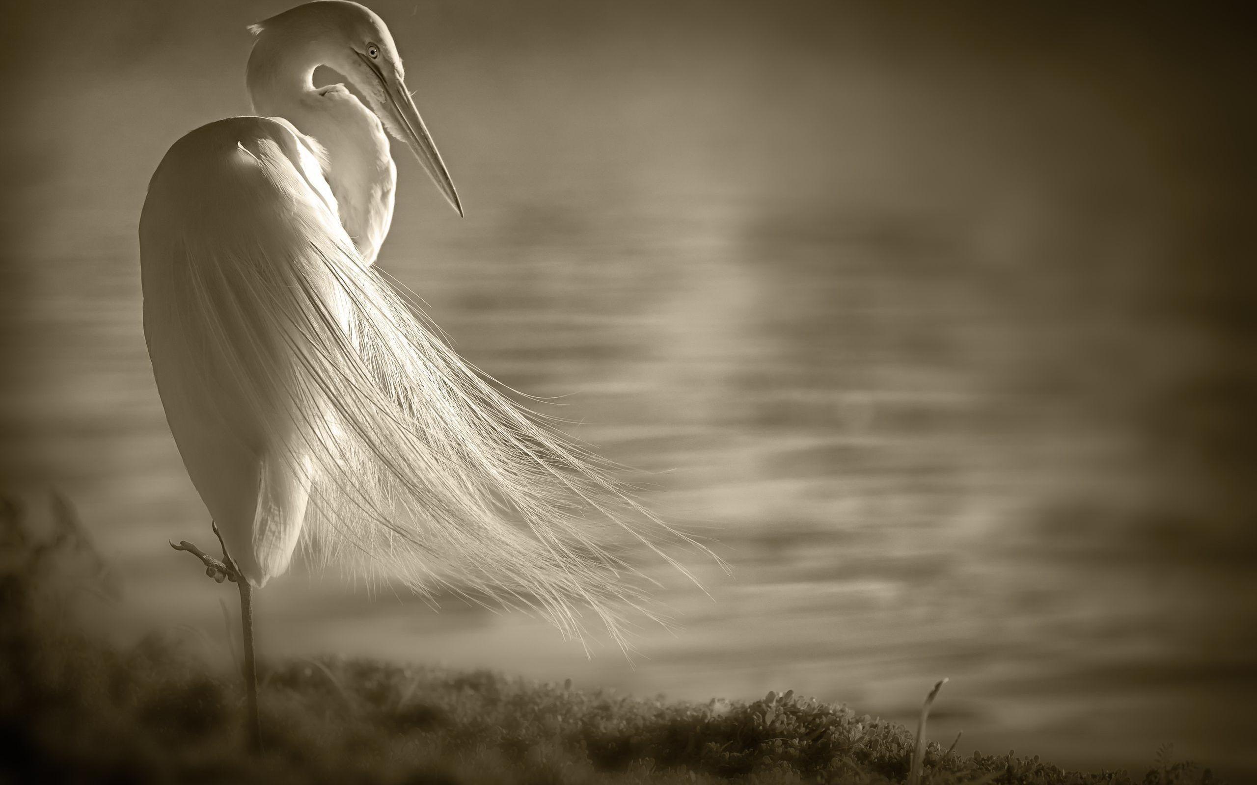 Res: 2560x1600, White heron
