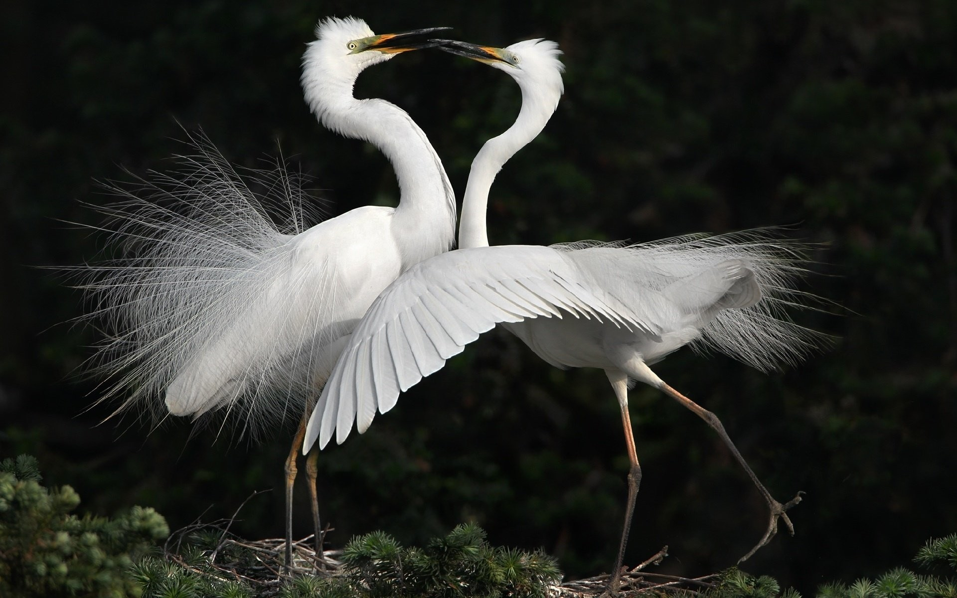 Res: 1920x1200, Bird white dance herons heron wallpaper |  | 433415 | WallpaperUP