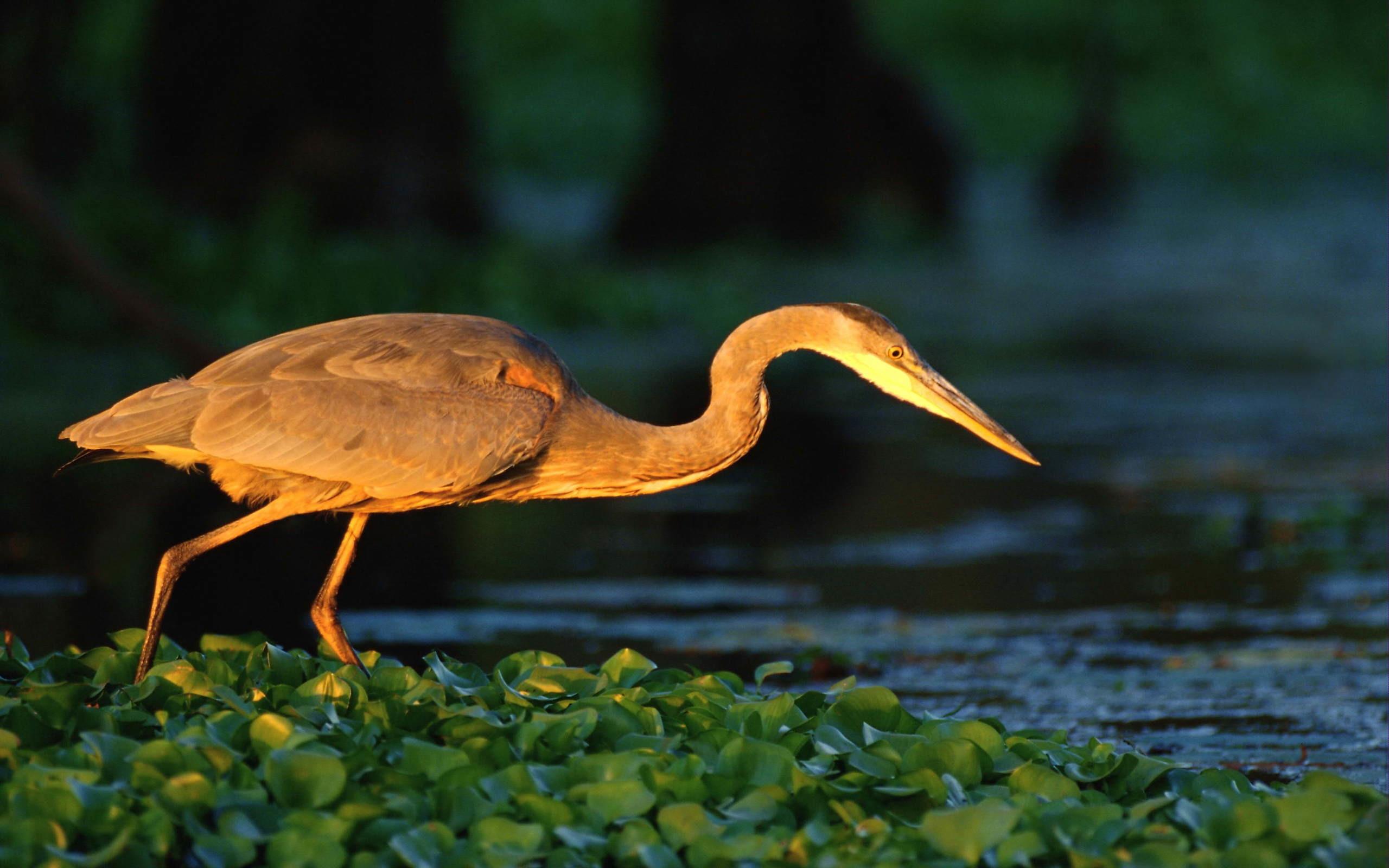 Res: 2560x1600, Wallpaper heron grass Great blue heron
