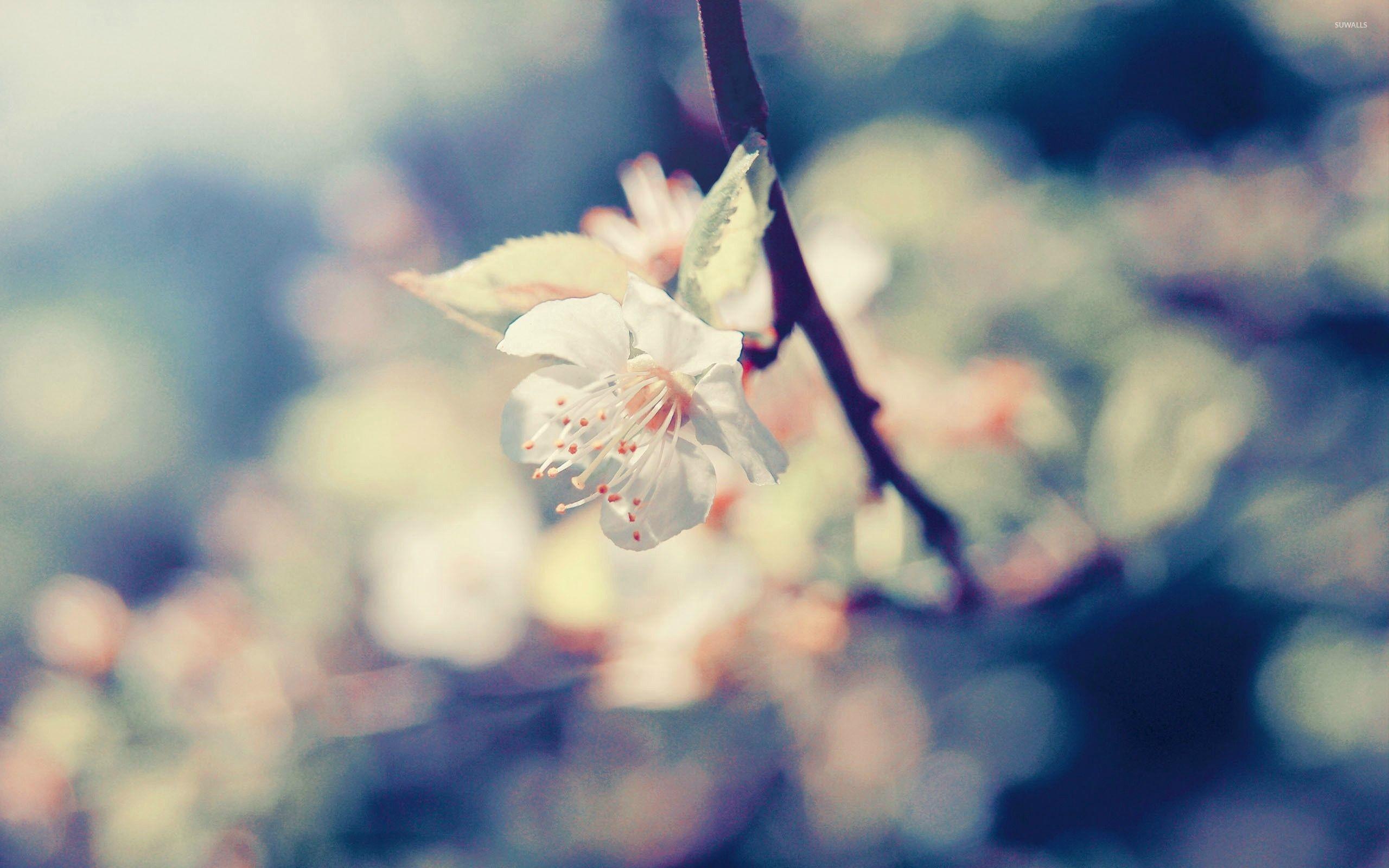 Res: 2560x1600, Pear blossom wallpaper