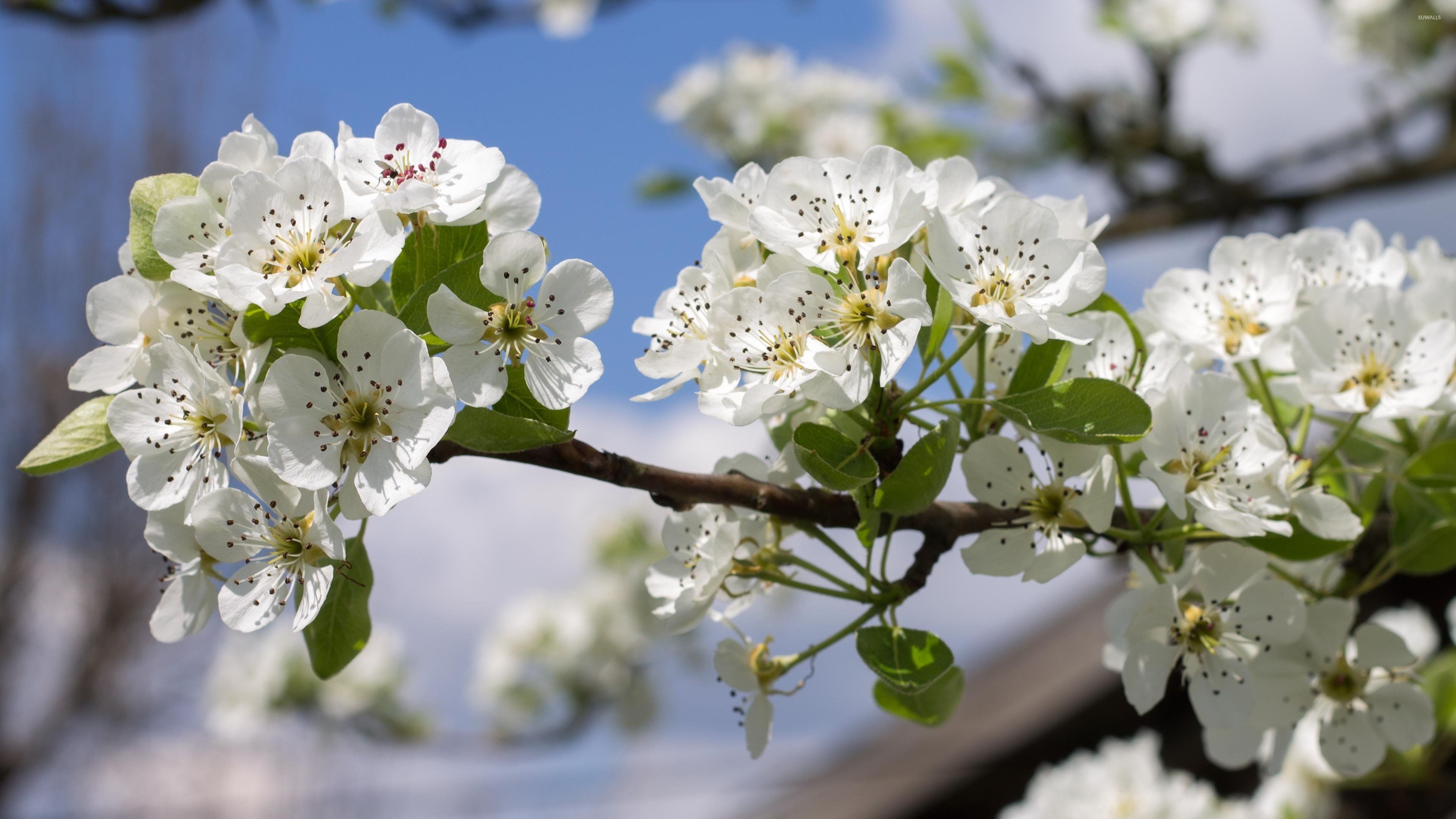 Res: 3840x2160, Spring blossoms on a pear tree wallpaper