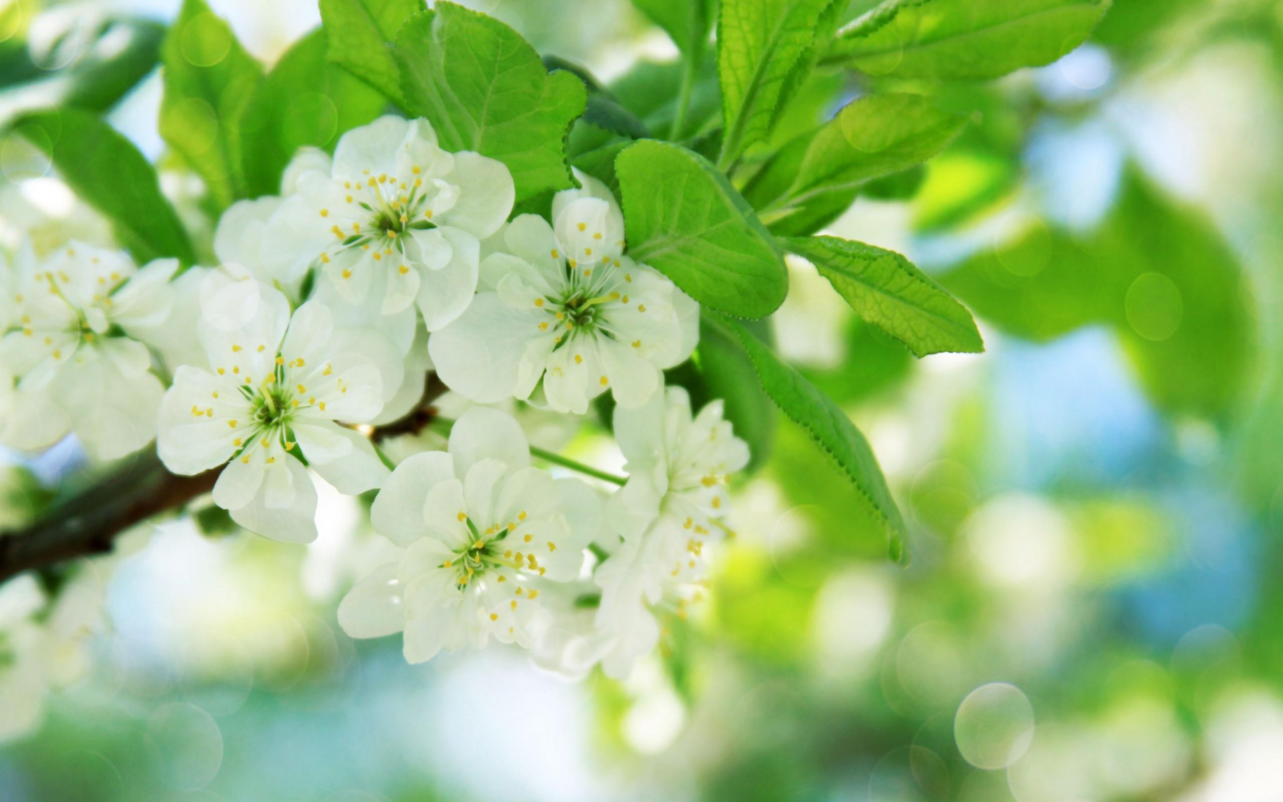 Res: 2560x1600, Pear tree flowers wallpaper