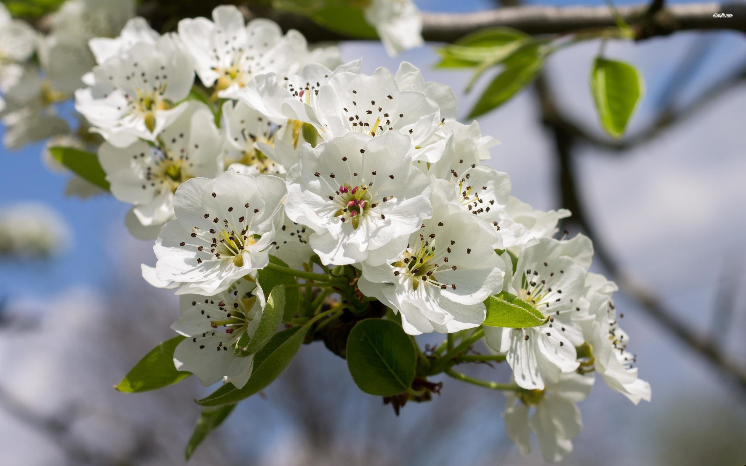 Res: 2560x1600, ... Pear tree in the spring wallpaper  ...
