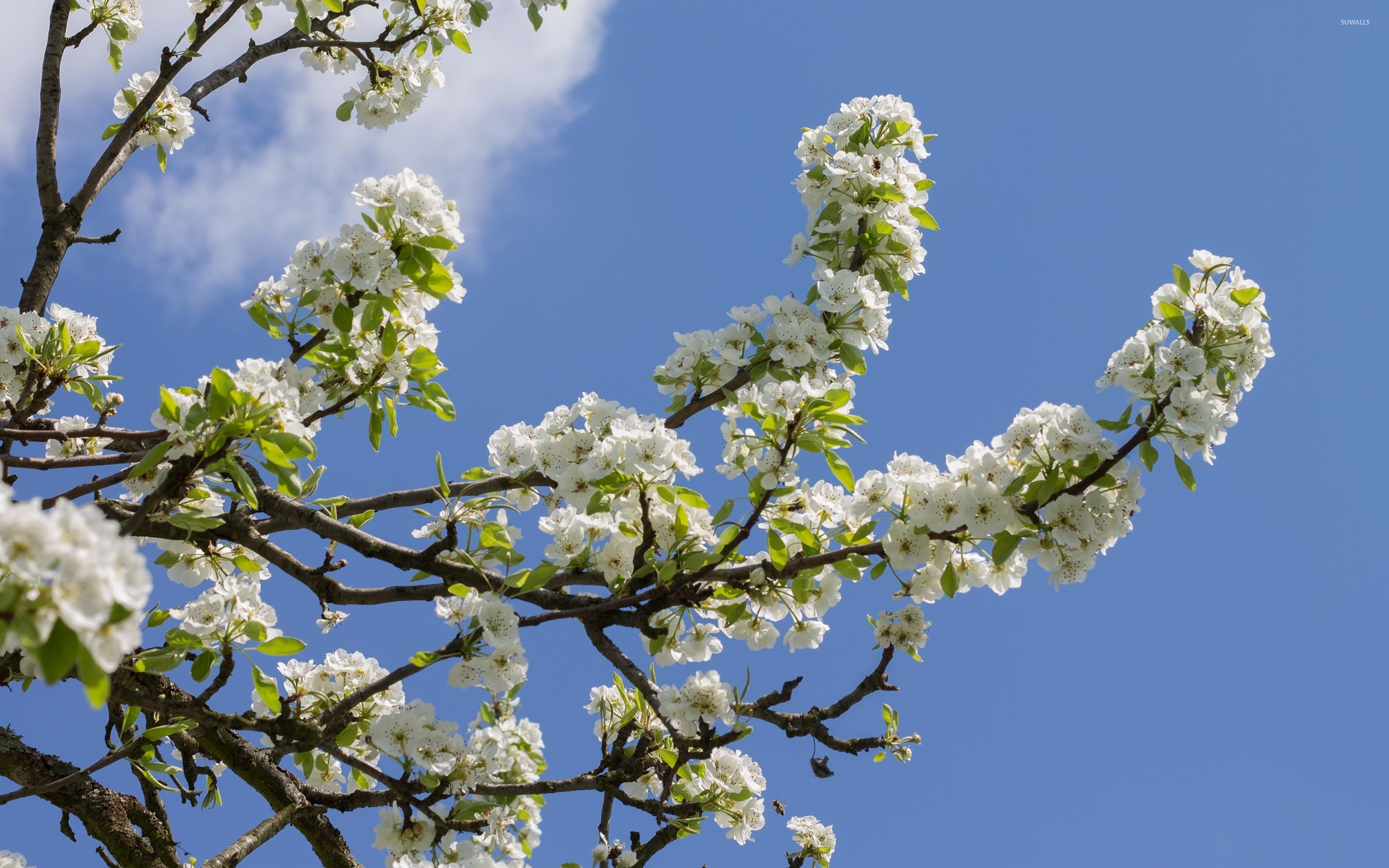 Res: 2880x1800, Pear branches full of flowers wallpaper
