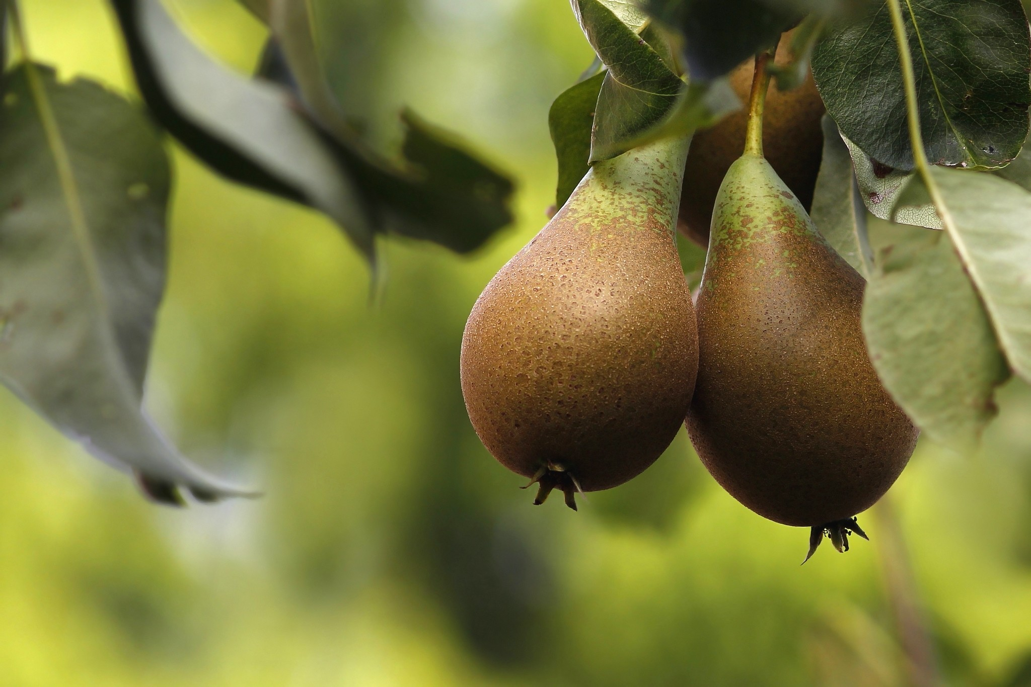 Res: 2048x1366, Pear Tree Wallpapers