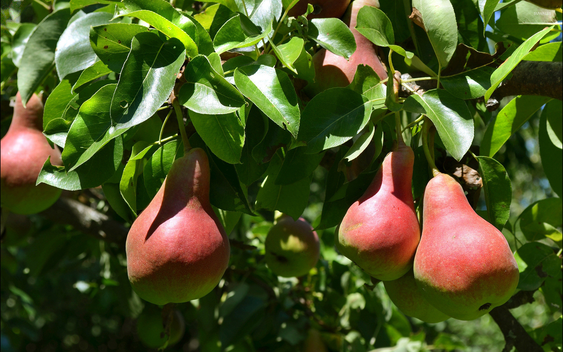 Res: 1920x1200, Pears in the tree wallpaper