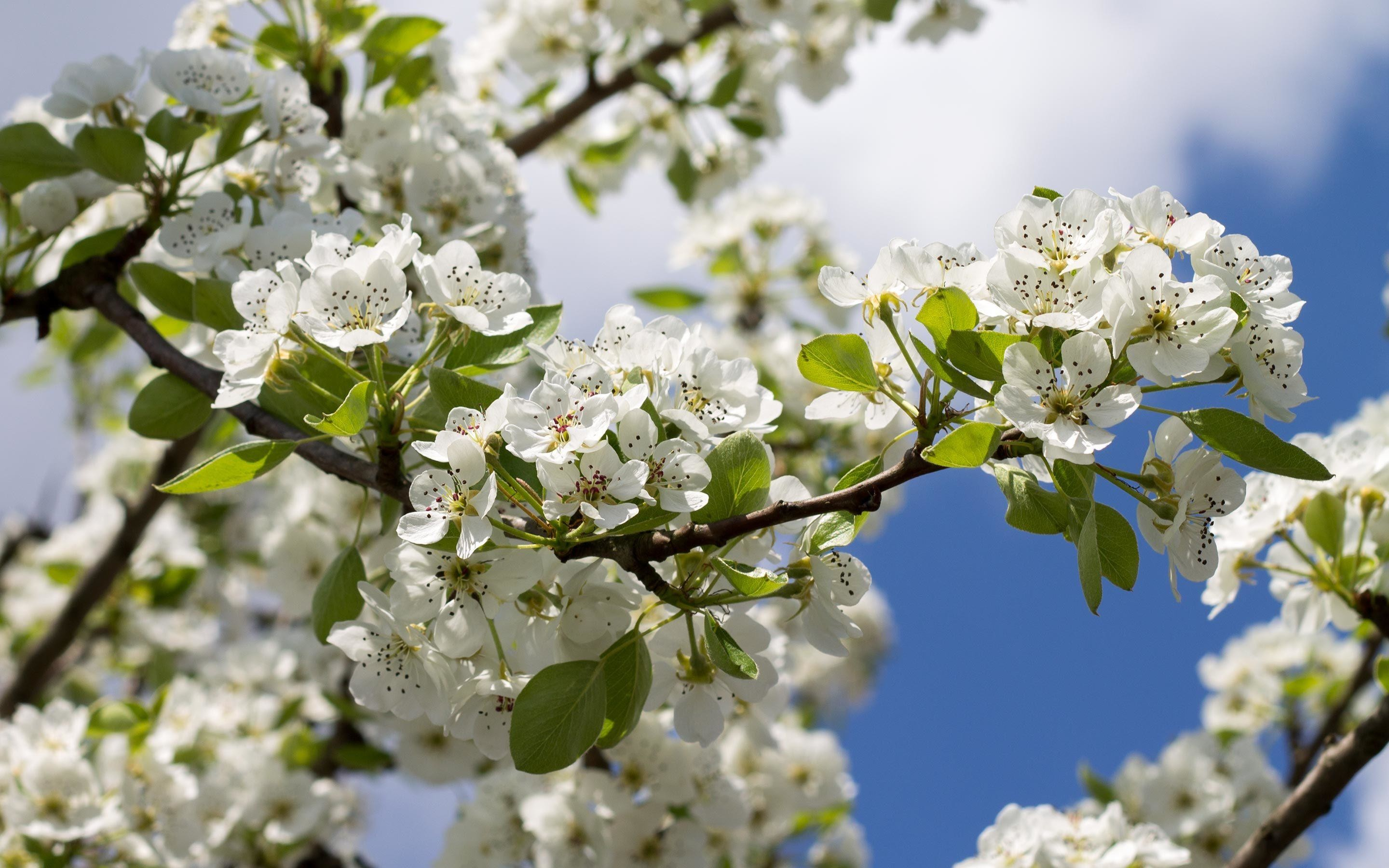 Res: 2880x1800, White pear blossoms along the branch