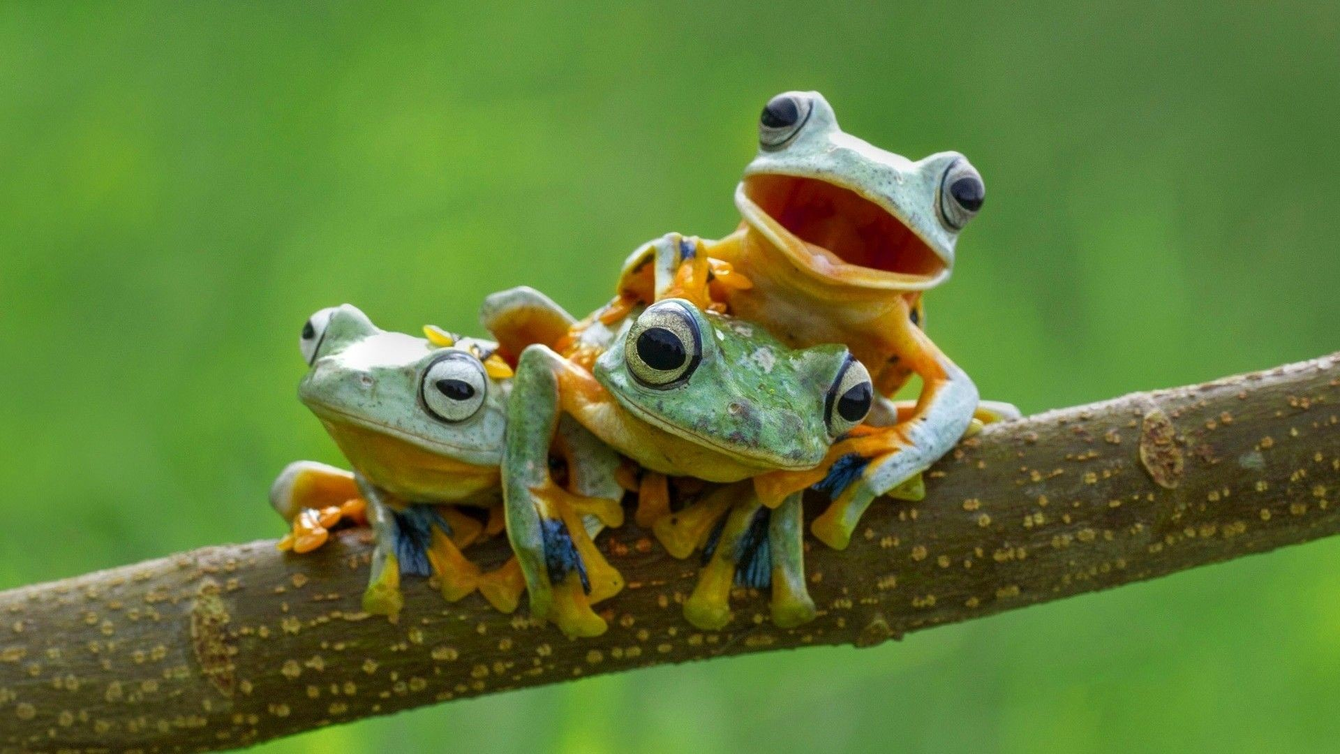 Res: 1920x1080, Frogs images Frog Wallpaper! HD wallpaper and background photos 1920×1080 Frog  Wallpaper (58 Wallpapers) | Adorable Wallpapers