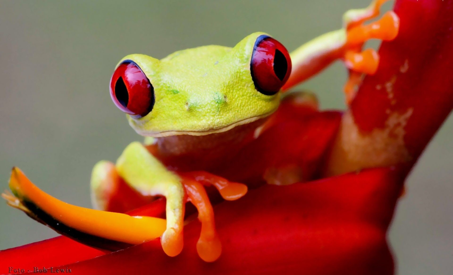 Res: 1920x1167, Frog HD Wallpapers Backgrounds Wallpaper 900×675 Frog Wallpaper (58  Wallpapers) | Adorable Wallpapers