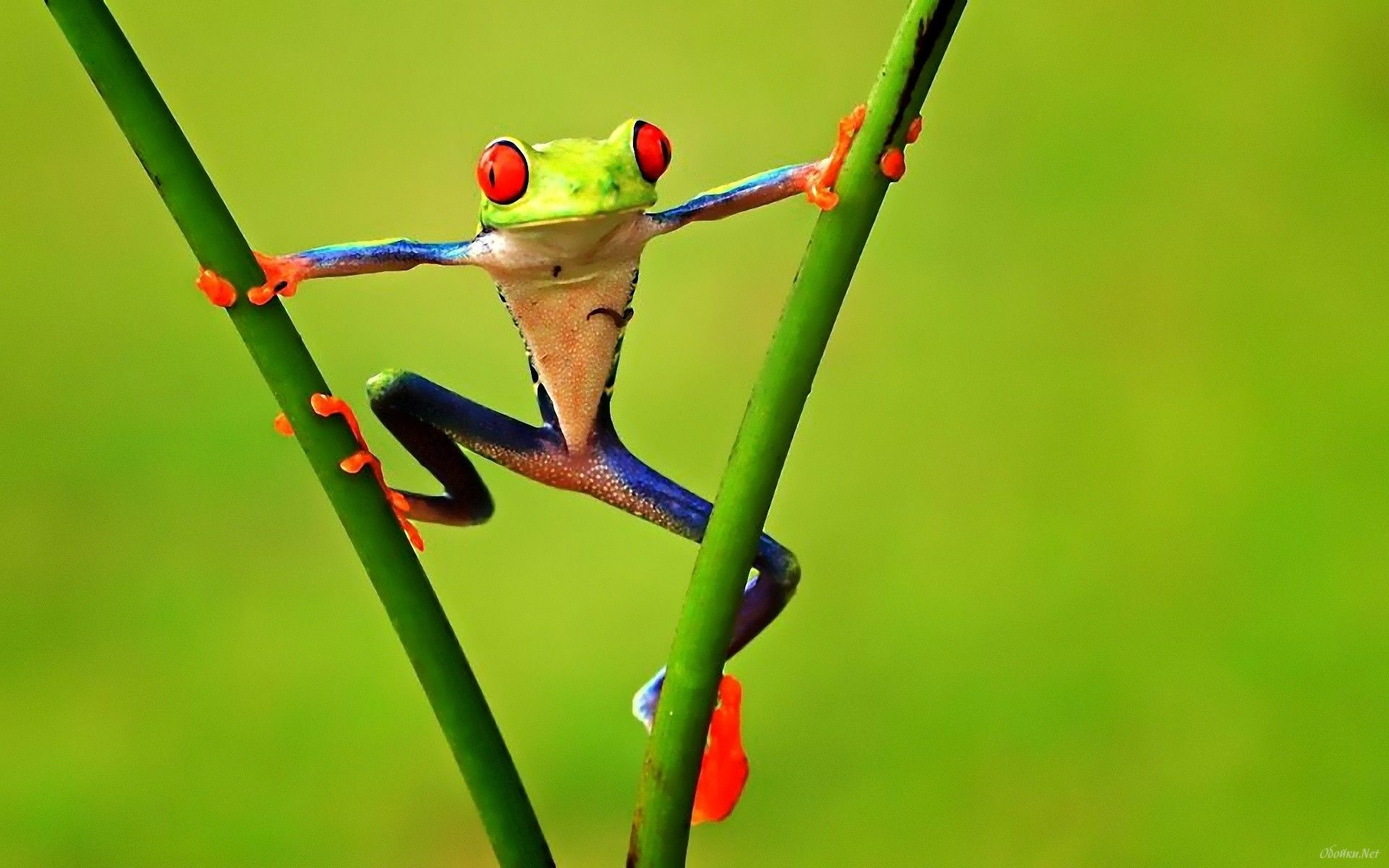 Res: 1920x1200, colorful Frog | Poison Dart Frogs  #6999 HD Wallpaper Res:   ... Frog:I told you I was strong brother see now it's your turn.