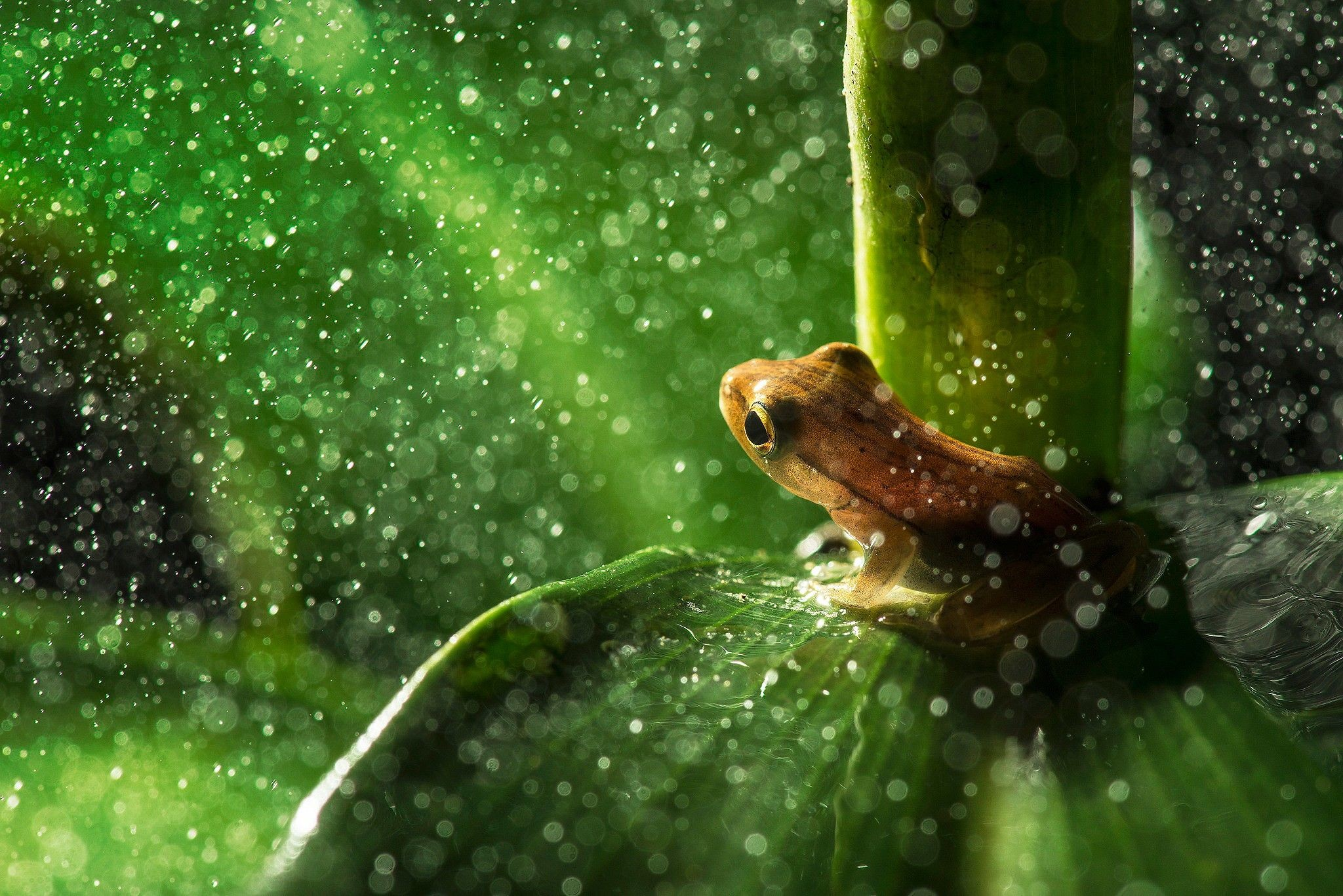 Res: 2048x1367, #nature, #animals, #frogs, #leaves, #macro, #rain, #water drops, #plants |  Wallpaper No. 165978 - wallhaven.cc