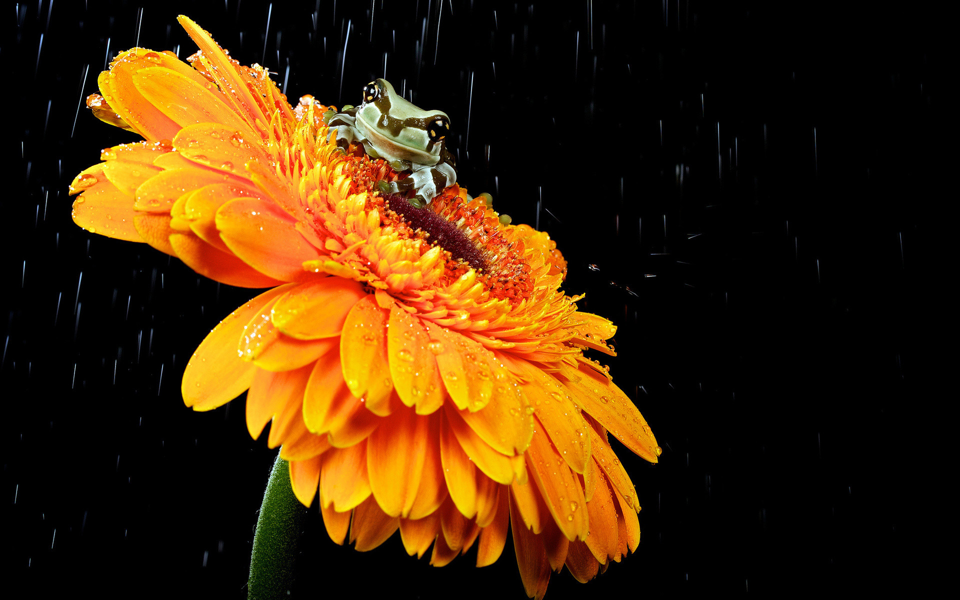 Res: 1920x1200, Bild: Netter Froggy Orange Flower wallpapers and stock photos. Â«