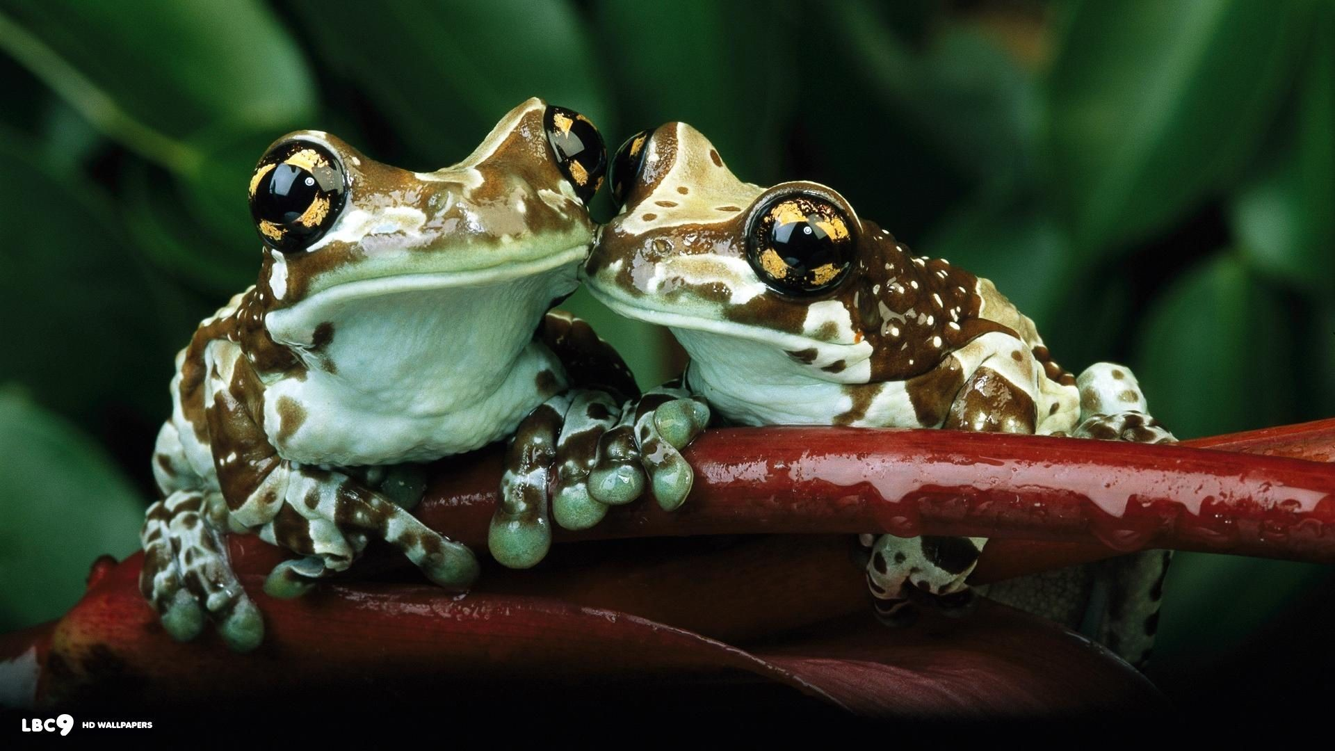 Res: 1920x1080, reptiles and amphibians | frog wallpaper 55/86 | reptiles and amphibians hd  backgrounds