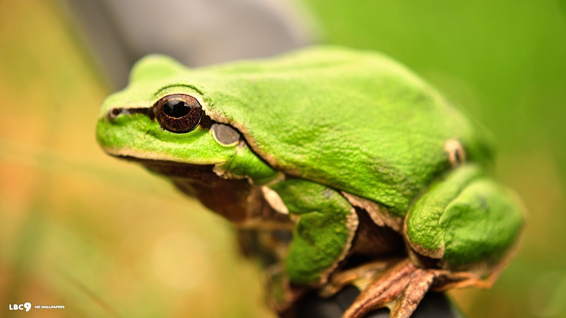 Res: 1920x1080, frog wallpaper 1/86 | reptiles and amphibians hd backgrounds