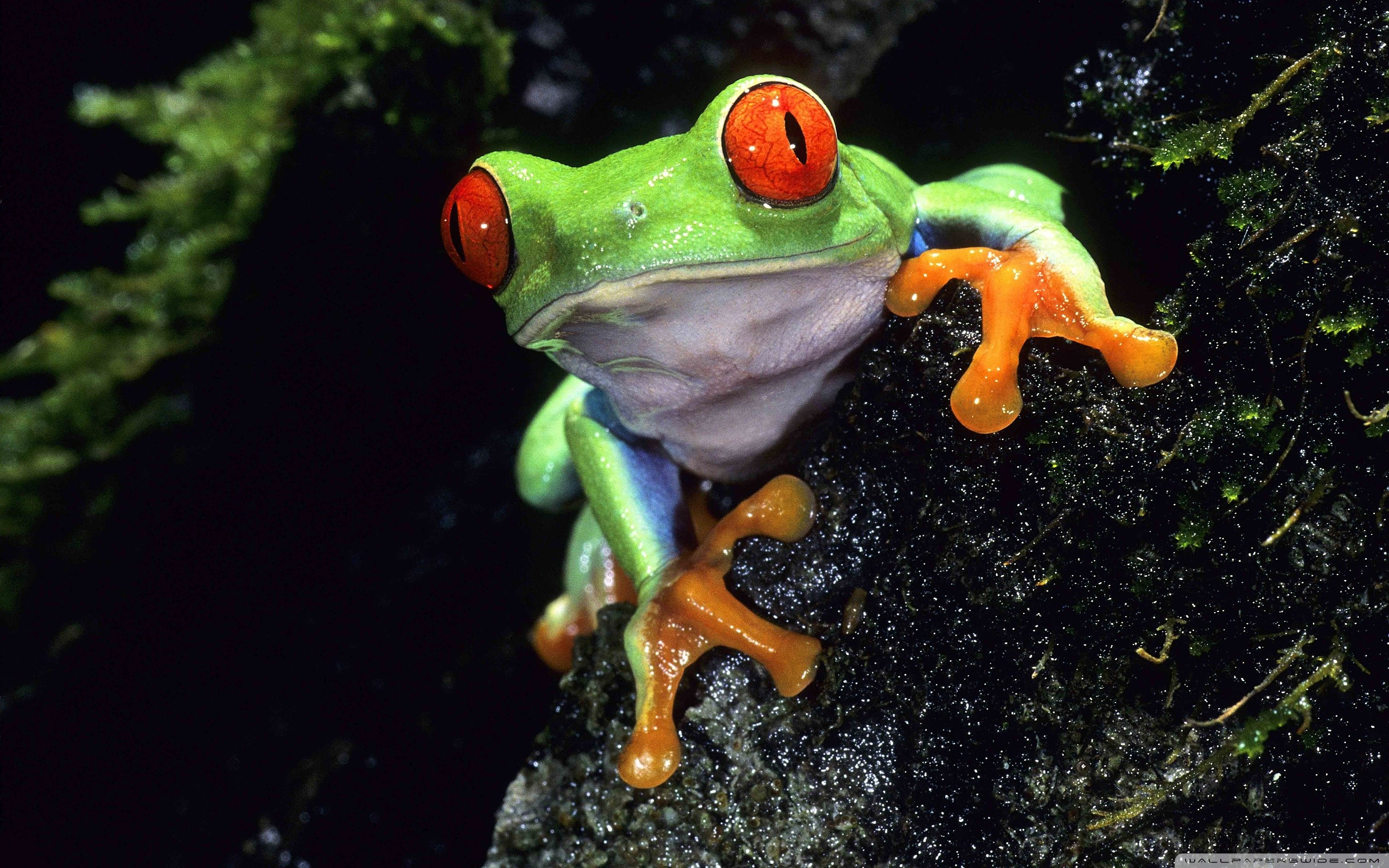 Res: 2560x1600, Cute tree frog wallpaper - stretch image in background html example