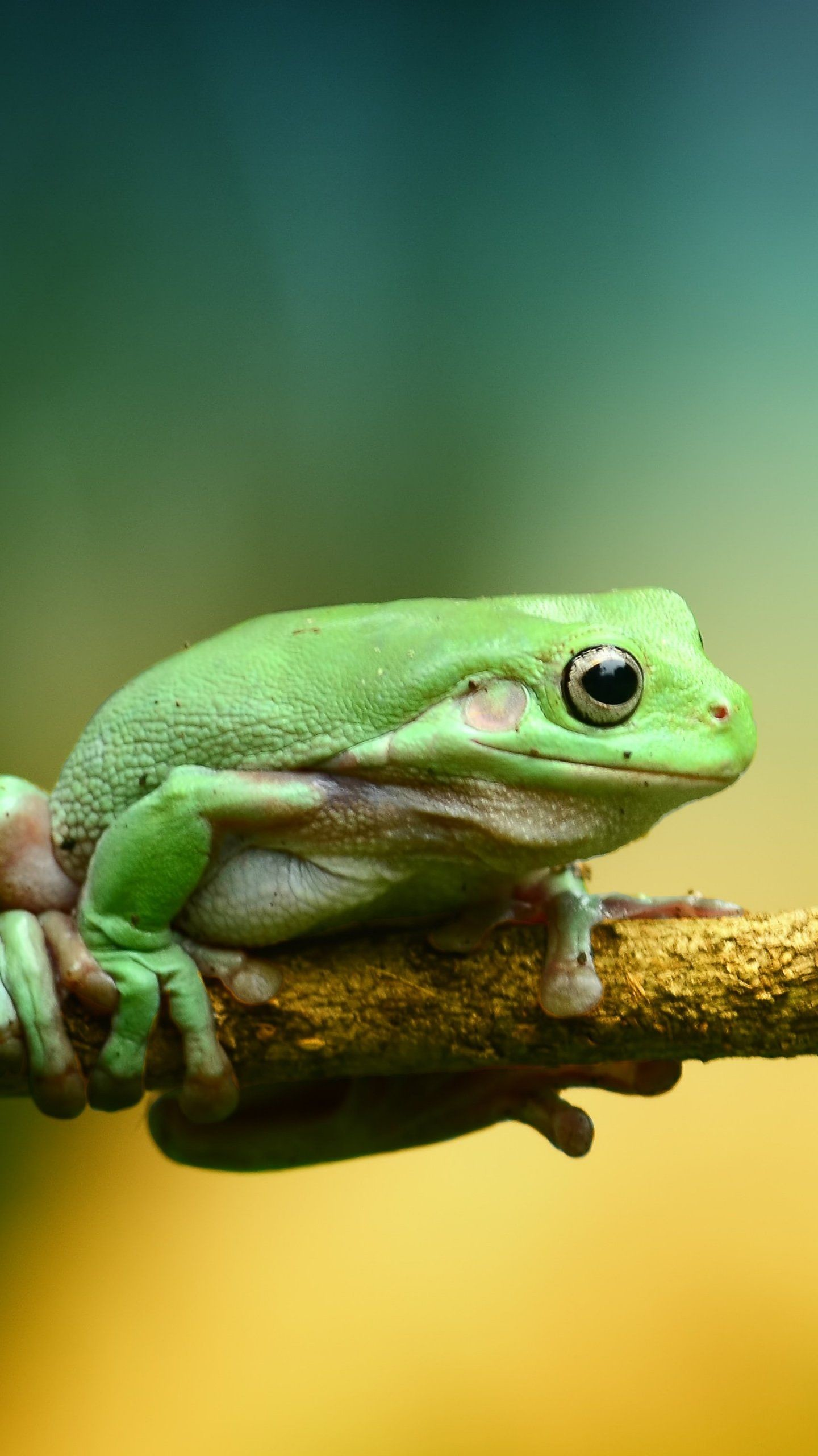 Res: 1440x2560, Green Frog iPhone Mobile Wallpaper