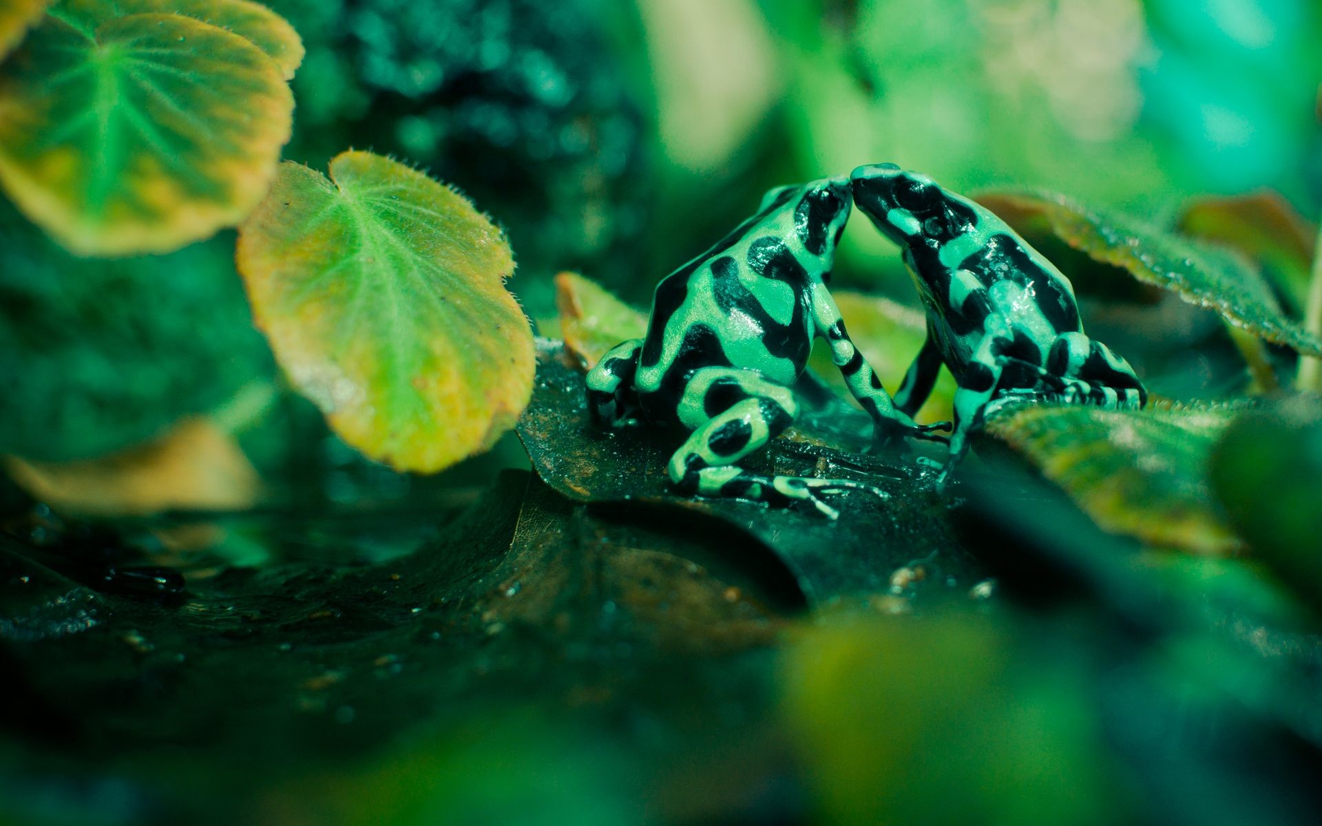 Res: 1920x1200, poison dart frogs | Wallpaper