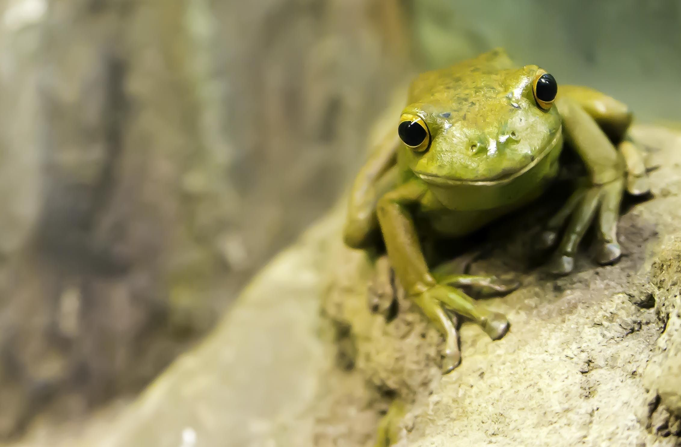 Res: 2264x1486, tree frog amphibian wallpaper download full free high definition