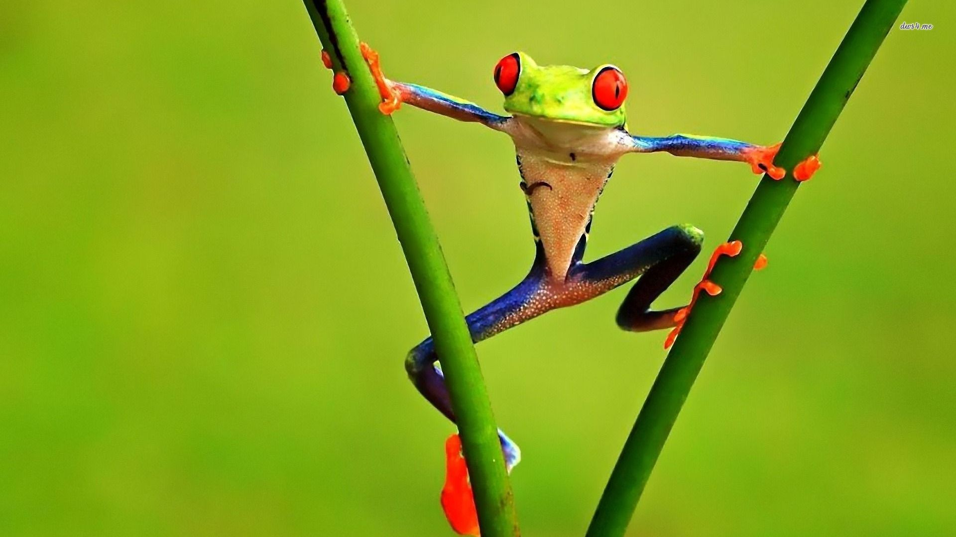 Res: 1920x1080, Funny frog wallpaper - Animal wallpapers - #25586