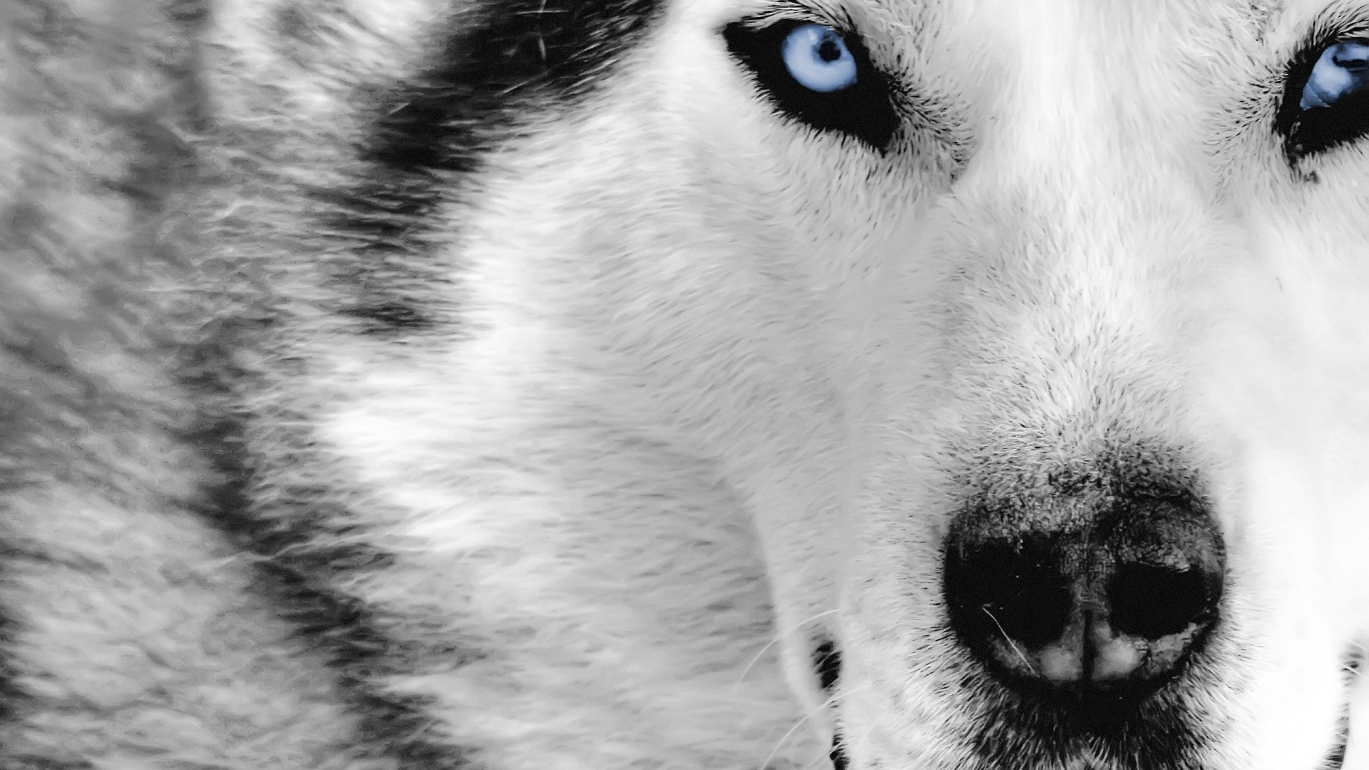 Res: 1920x1080, Wolf Wallpaper