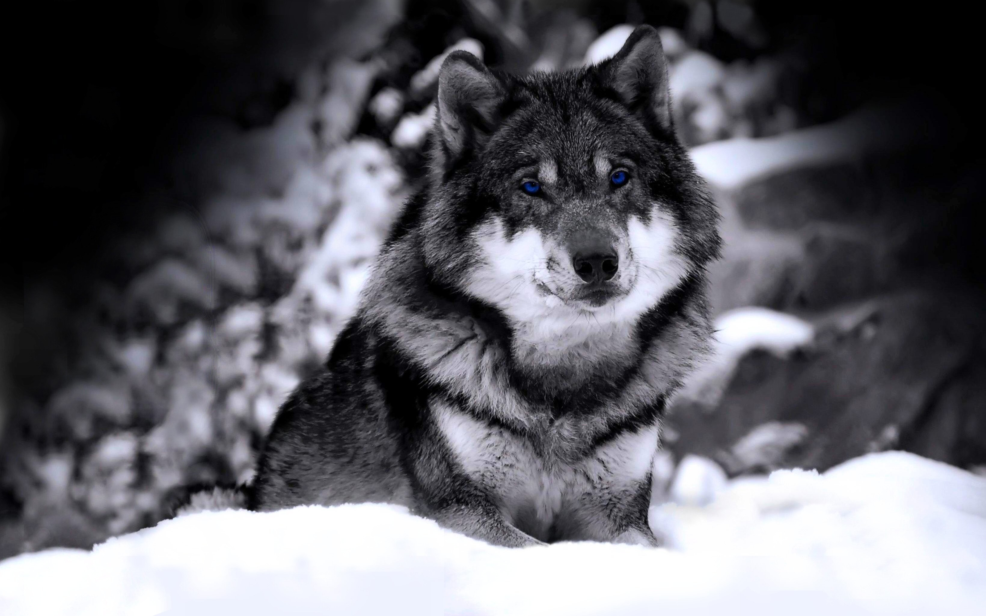 Res: 3280x2050, HD Wallpaper | Background Image ID:329792.  Animal Wolf