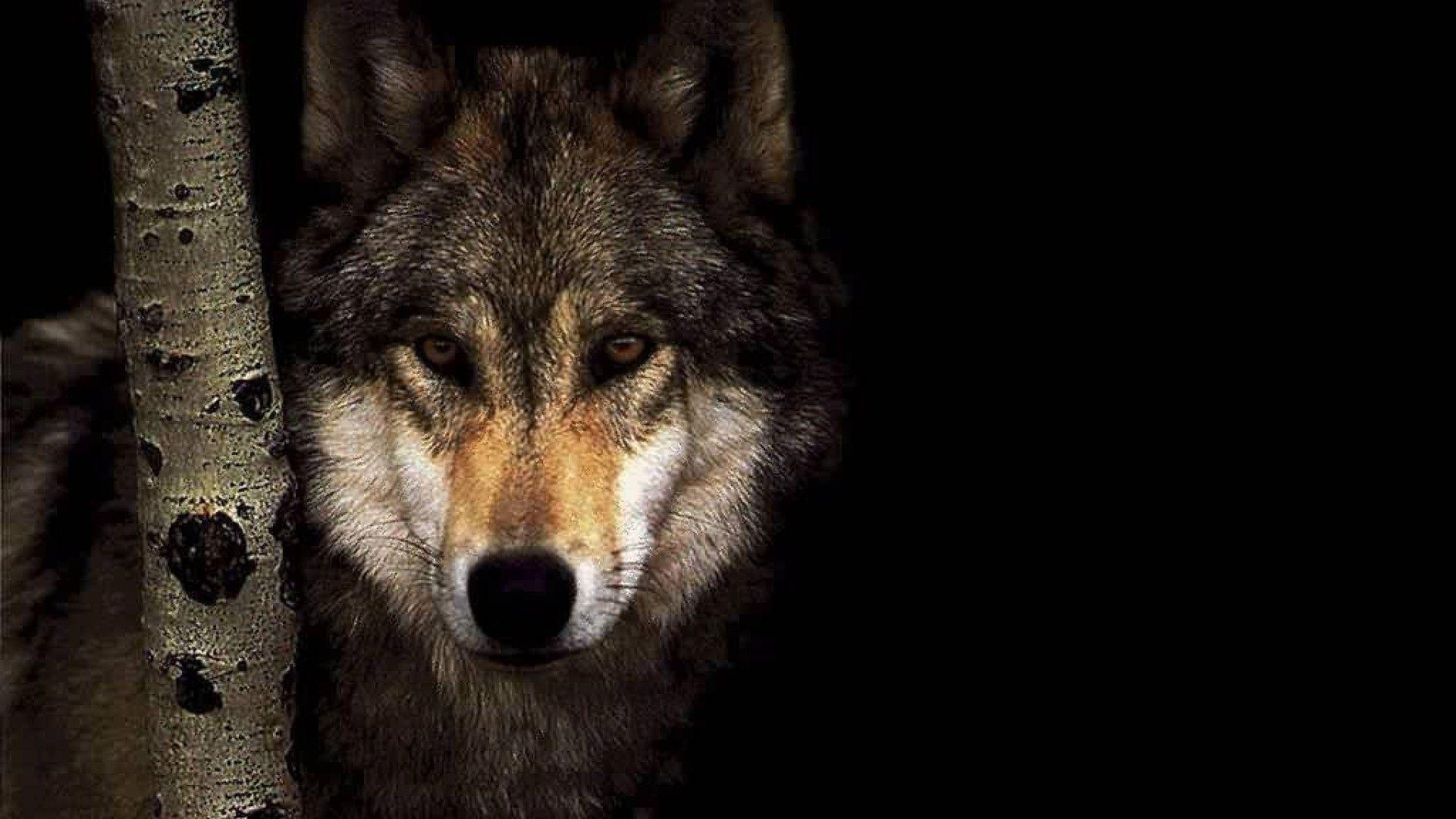 Res: 1920x1080, Wolf 3308 Wolf Wallpaper  | Hot HD Wallpaper