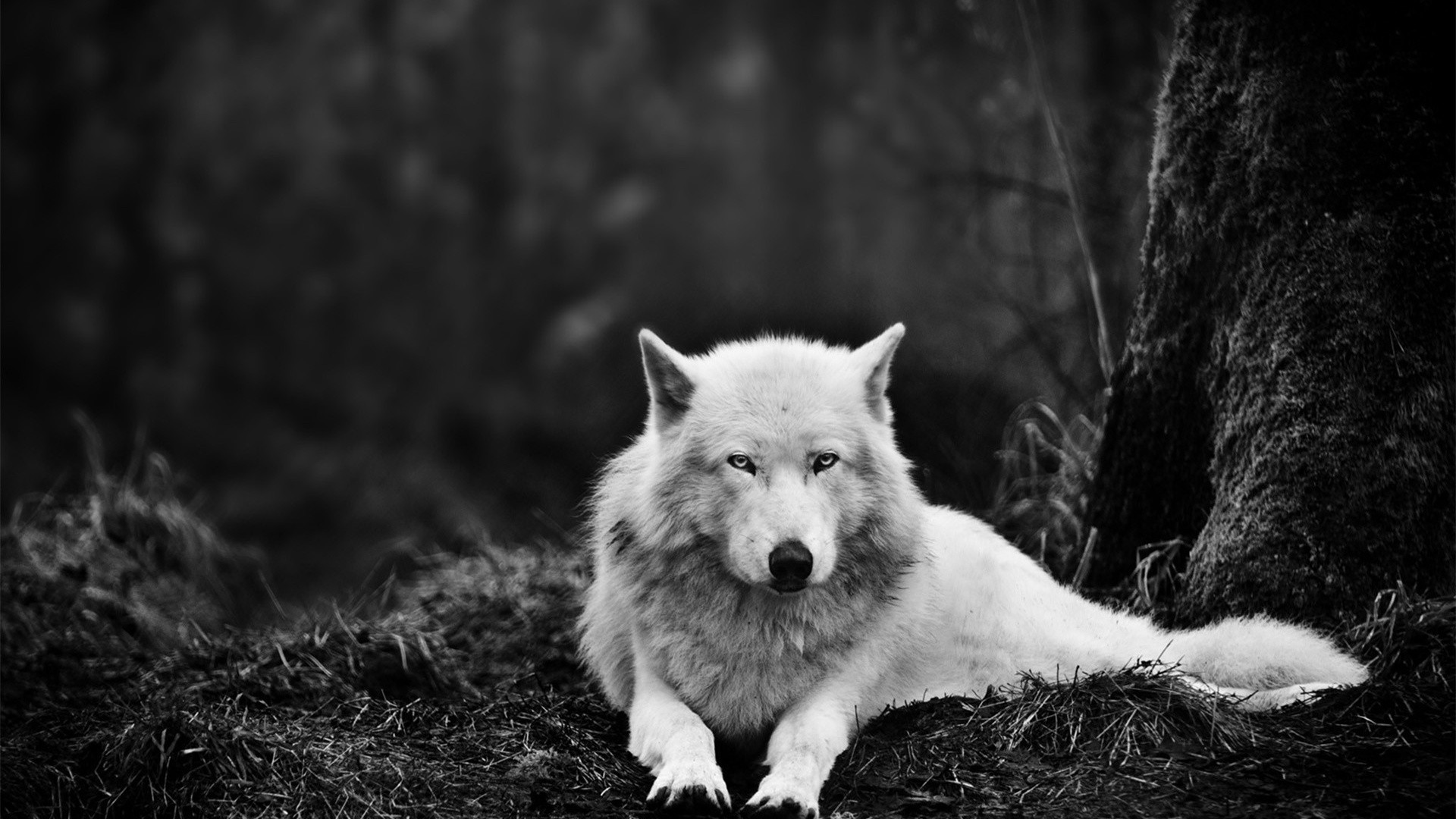 Res: 1920x1080, Wolf White Wallpaper HD