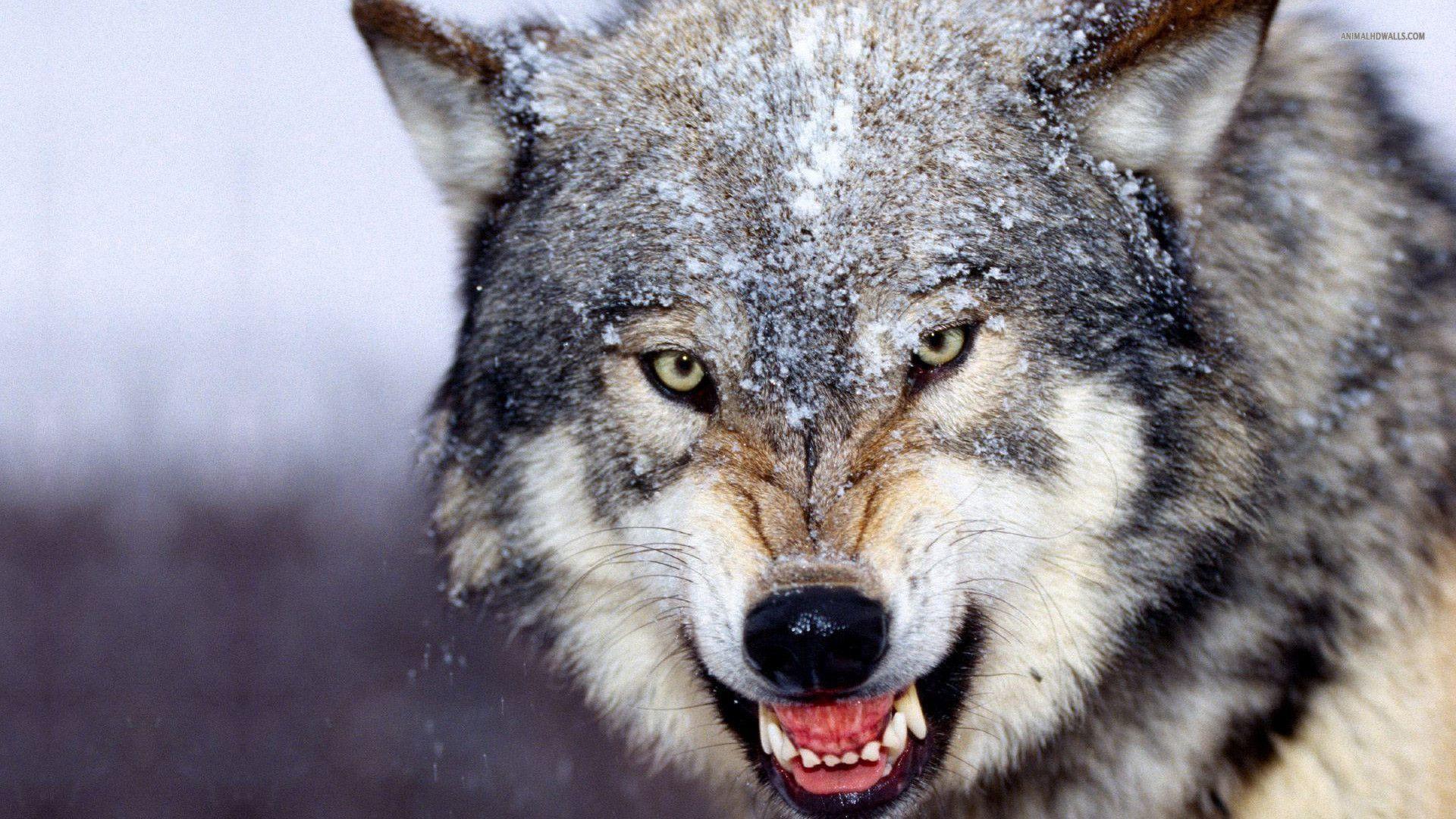 Res: 1920x1080, HD Wolf Desktop HD Wallpapers / Wallpaper Database