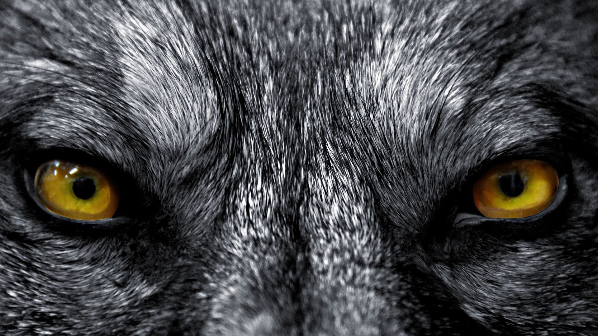 Res: 1920x1080, Wolf HD Wallpapers Backgrounds Wallpaper