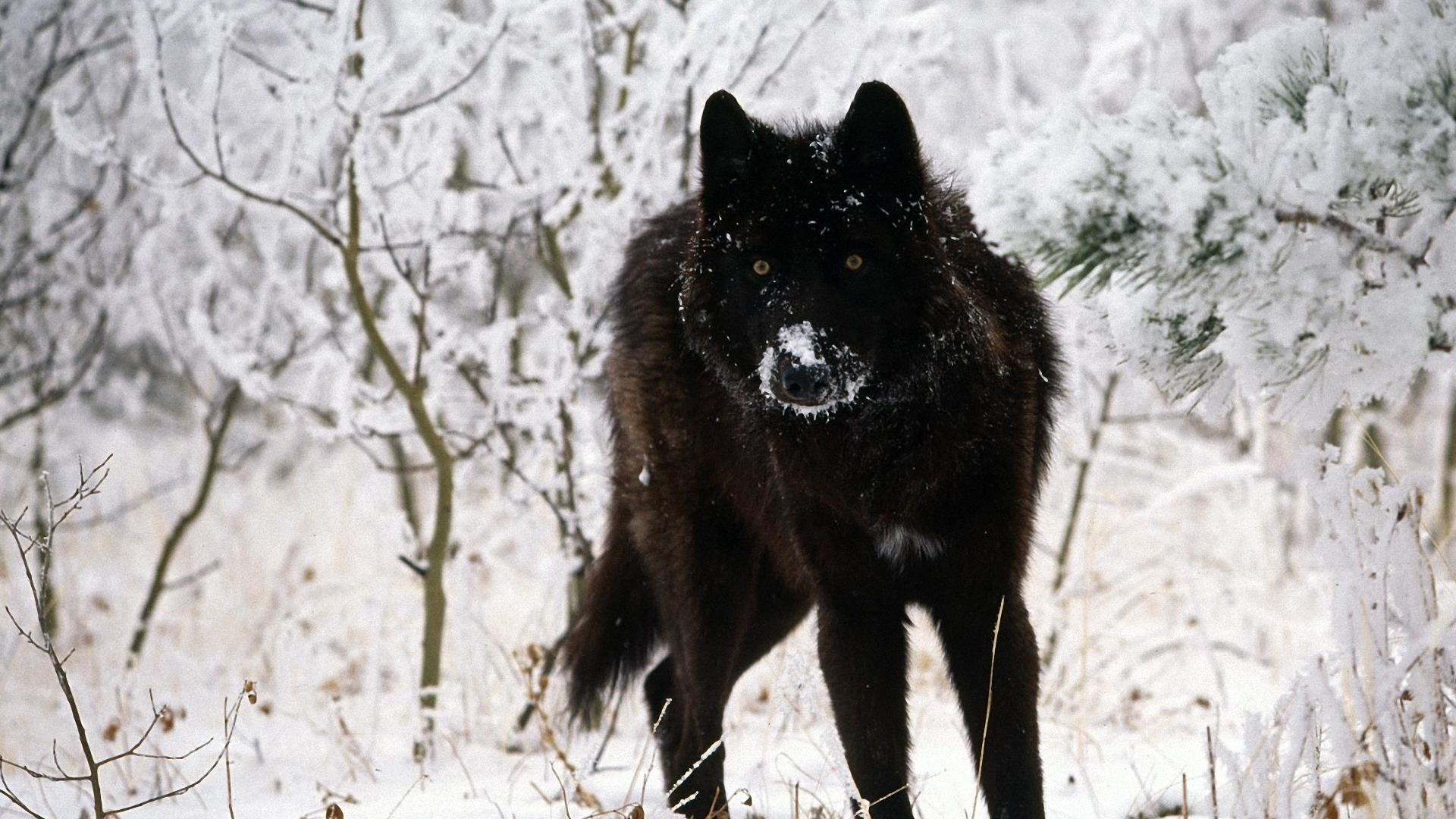 Res: 1920x1080, Black Wolf Wallpapers.