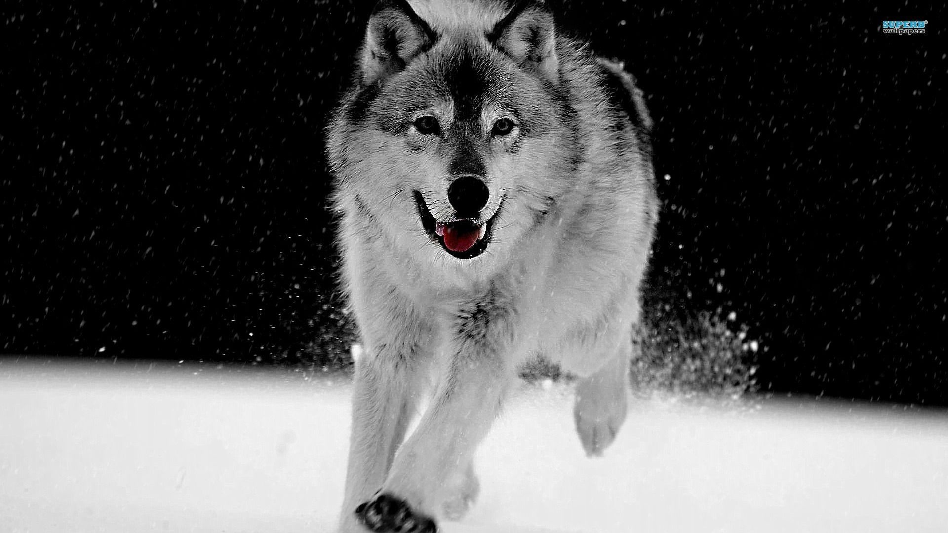 Res: 1920x1080, Full HD p Wolf Wallpapers HD, Desktop Backgrounds 1920×1080 Wolf Wallpaper  (39