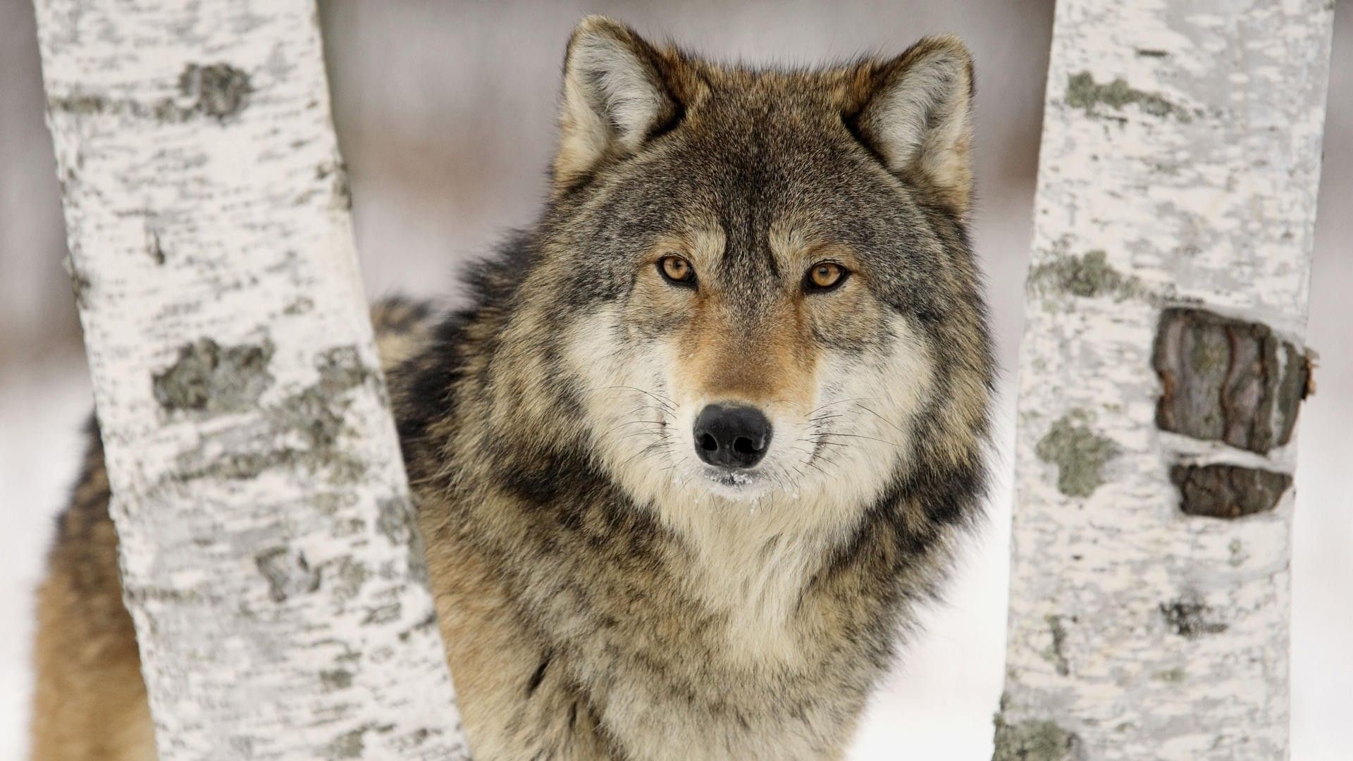 Res: 1920x1080, Wolf Hd Wallpapers | Free HD Desktop Wallpapers - Widescreen Images