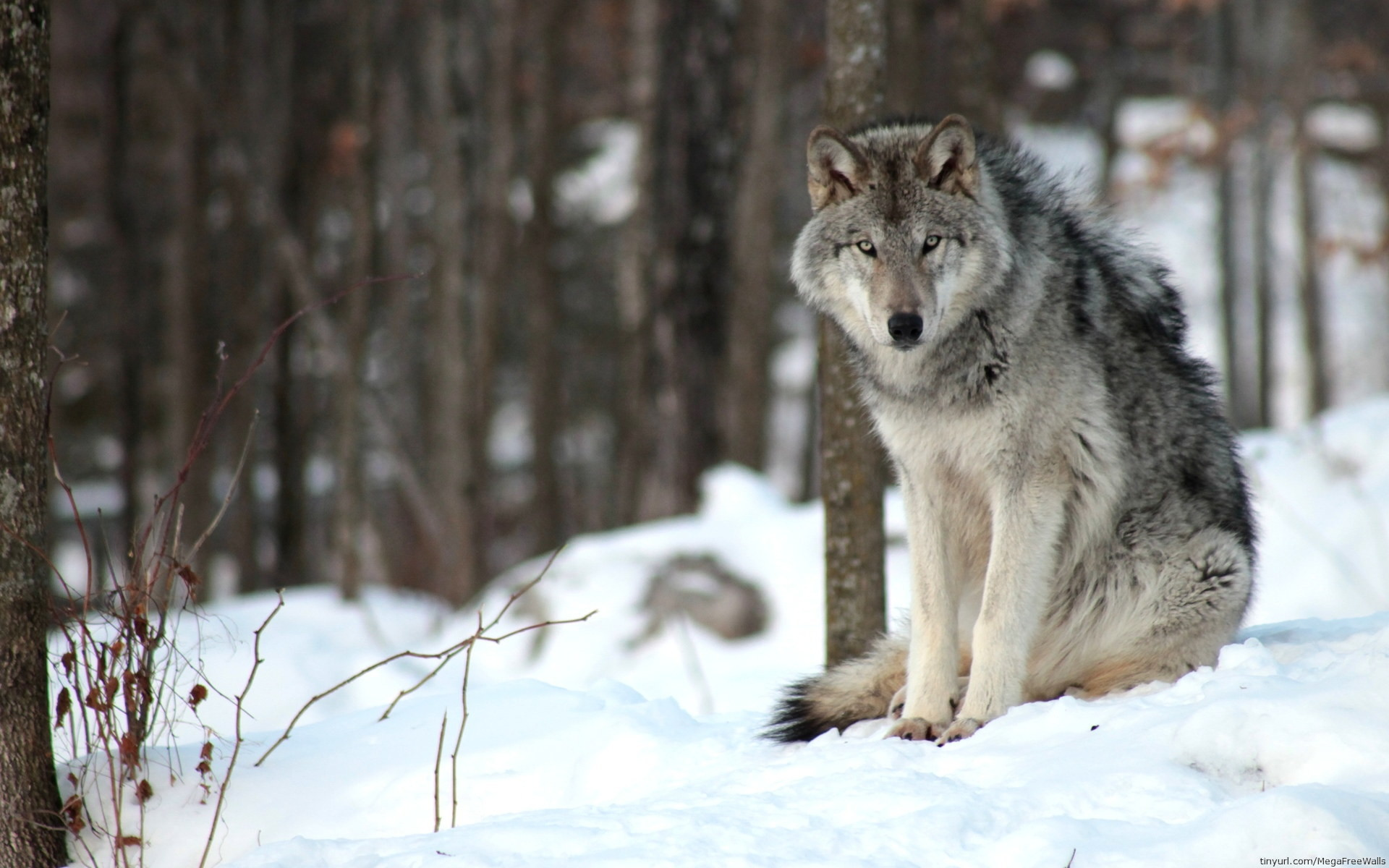 Res: 1920x1200, Animal Wallpapers. Download the following Wolf HD ...