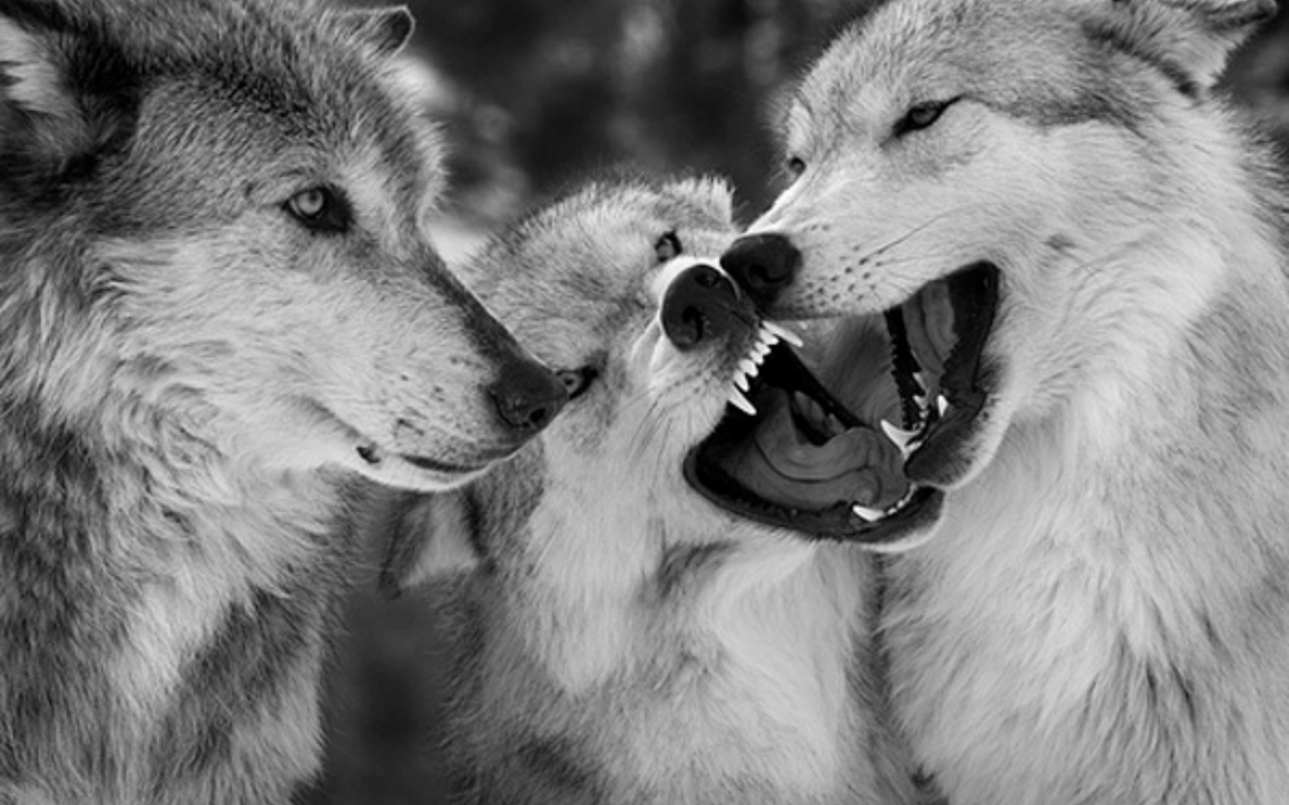 Res: 2560x1600, Wolf HD pictures Wolf full hd wallpapers