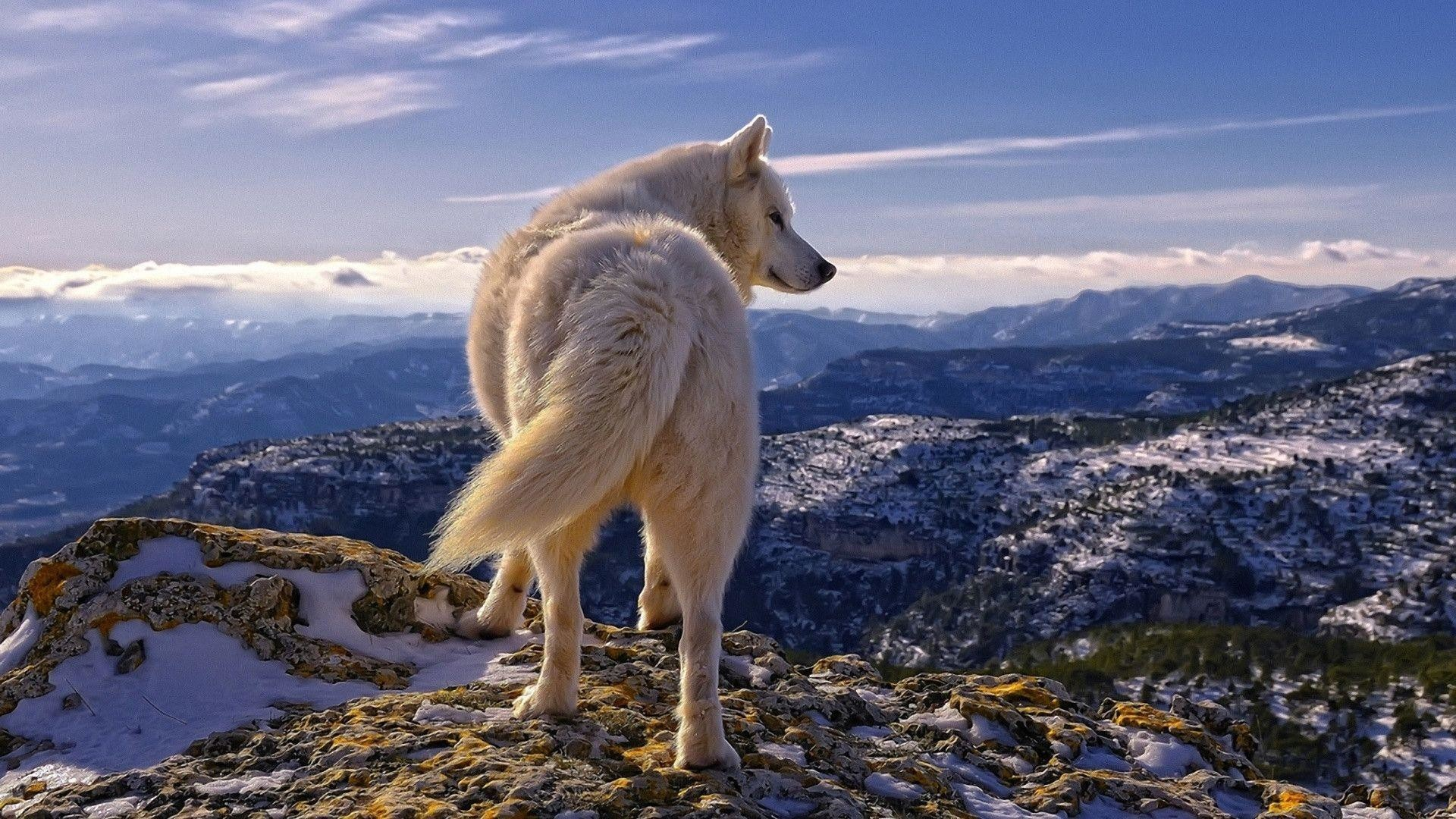 Res: 1920x1080, White Wolf Desktop Wallpaper Hd For Smartphone