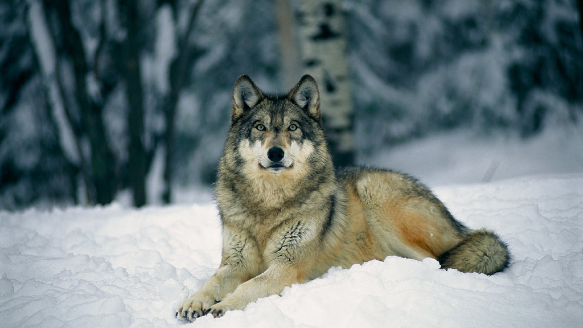 Res: 1920x1080, Wolf-Wallpapers-Free-Download-Galerie-(77-Plus)-PIC-WPW5011602