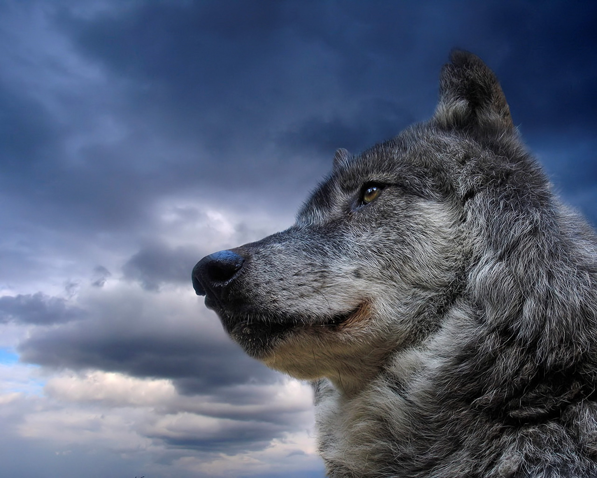 Res: 2048x1639, HD Wallpaper | Background Image ID:102719.  Animal Wolf