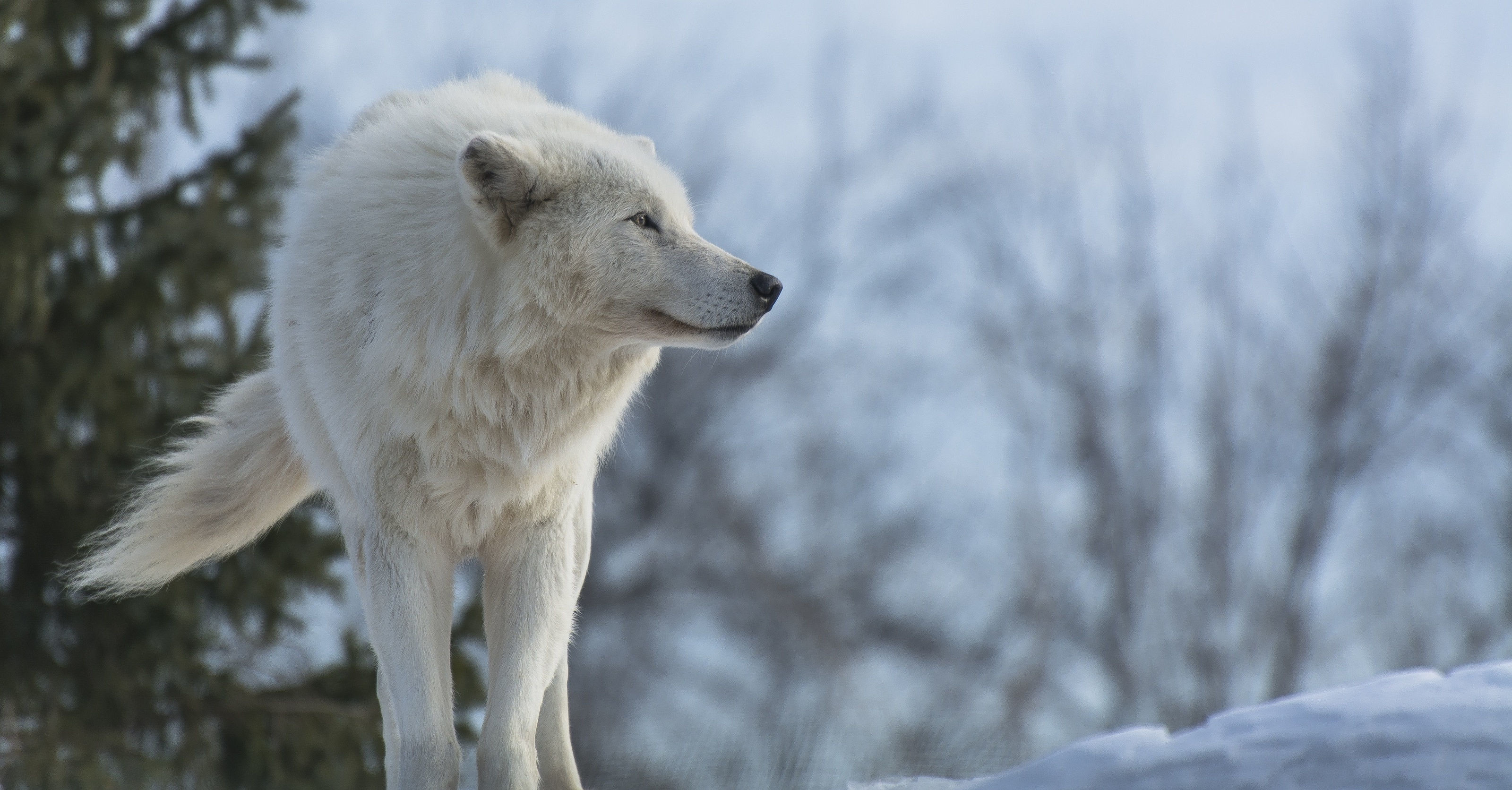 Res: 3200x1672, Widescreen For White Wolf Wallpaper Hd Resolution Desktop Images Mobile