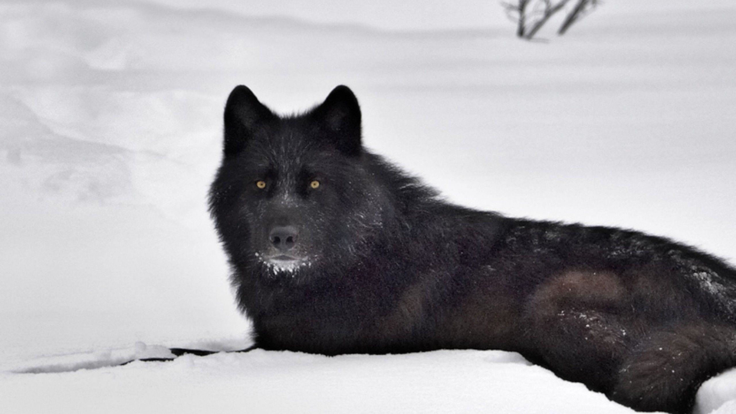 Res: 2560x1440, Black Wolf in Snow Wallpapers - HD Wallpapers Inn