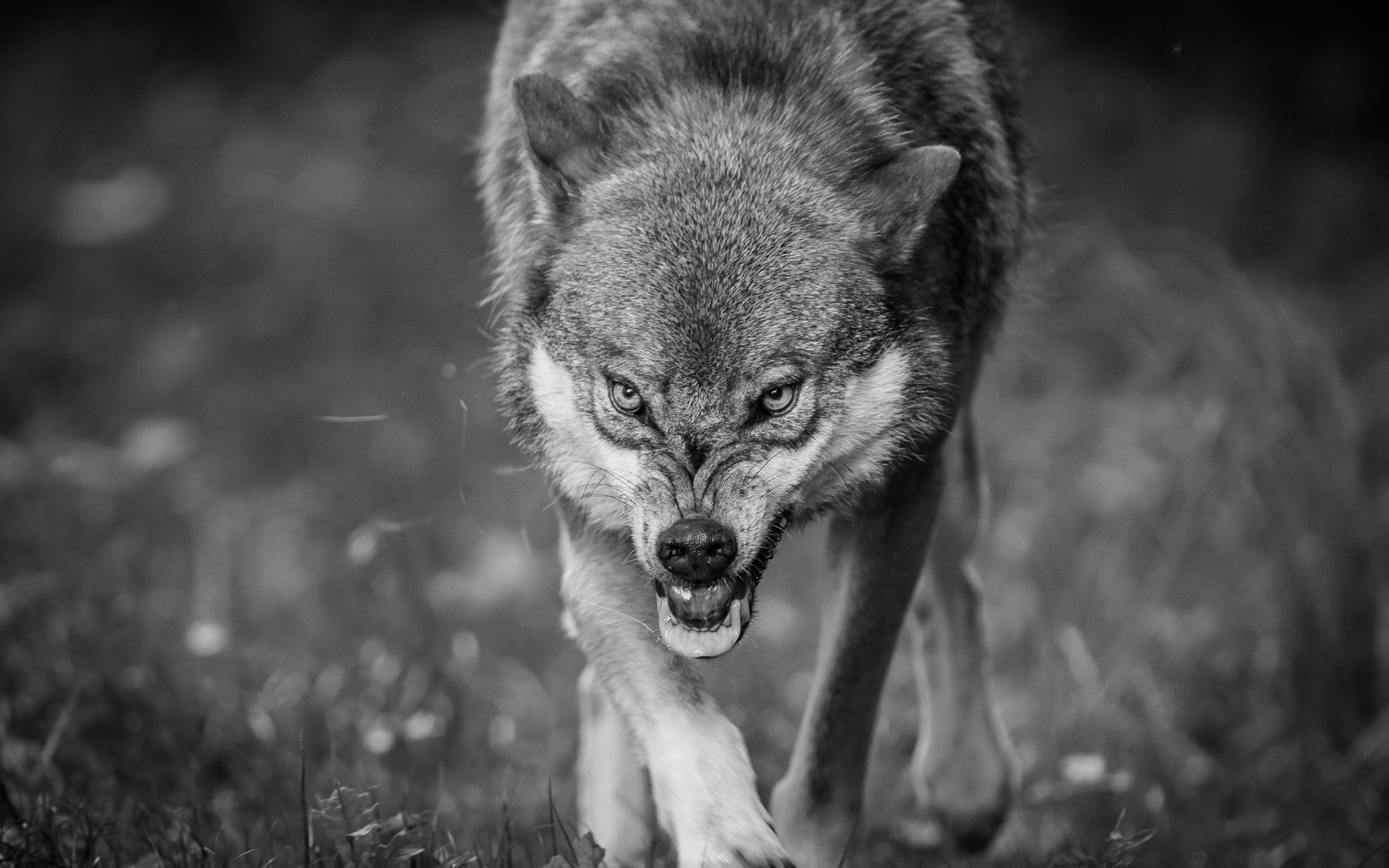 Res: 1980x1237, grayscale photography of wolf HD wallpaper