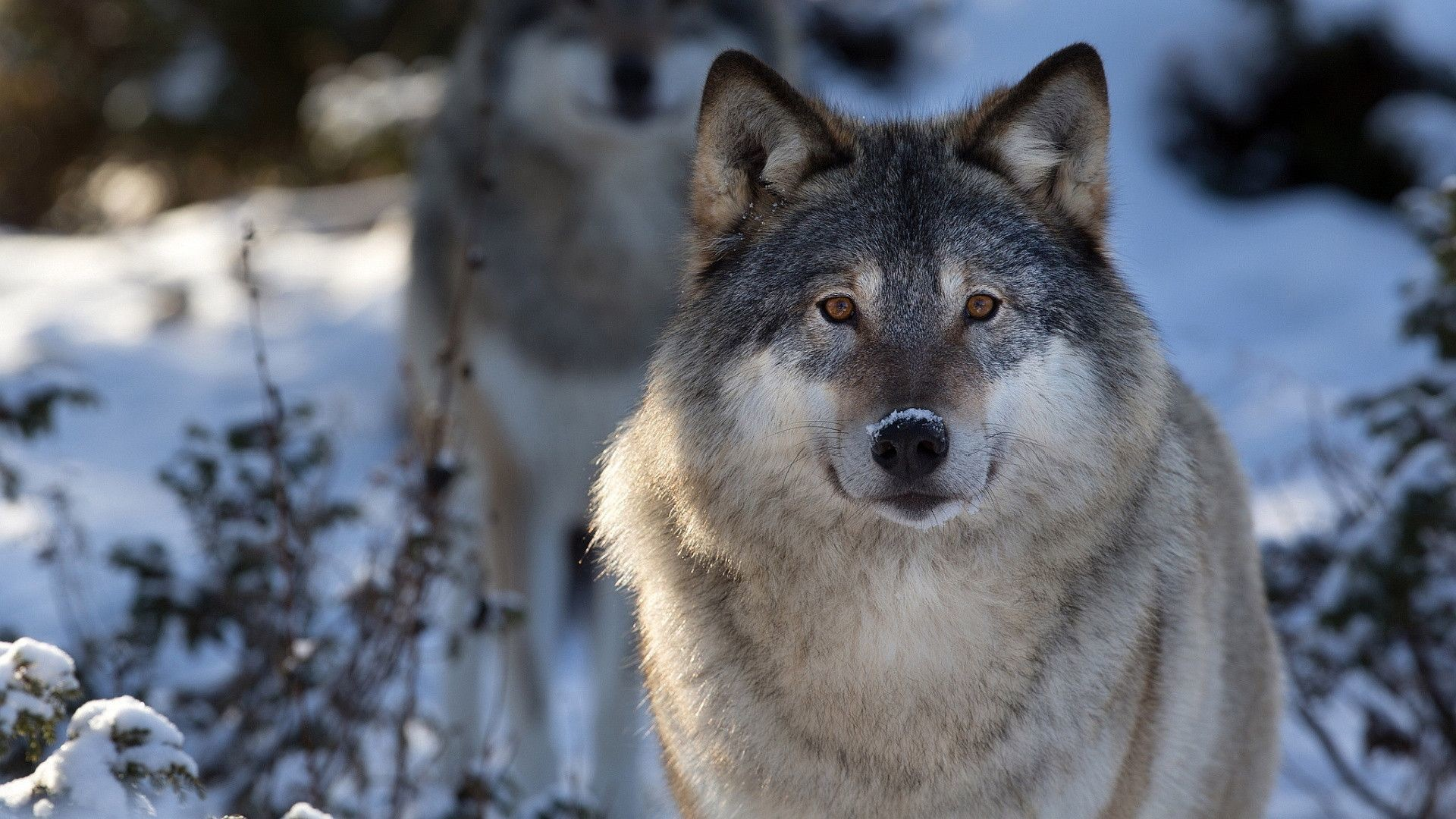 Res: 1920x1080, Gray Wolf Wallpaper 16