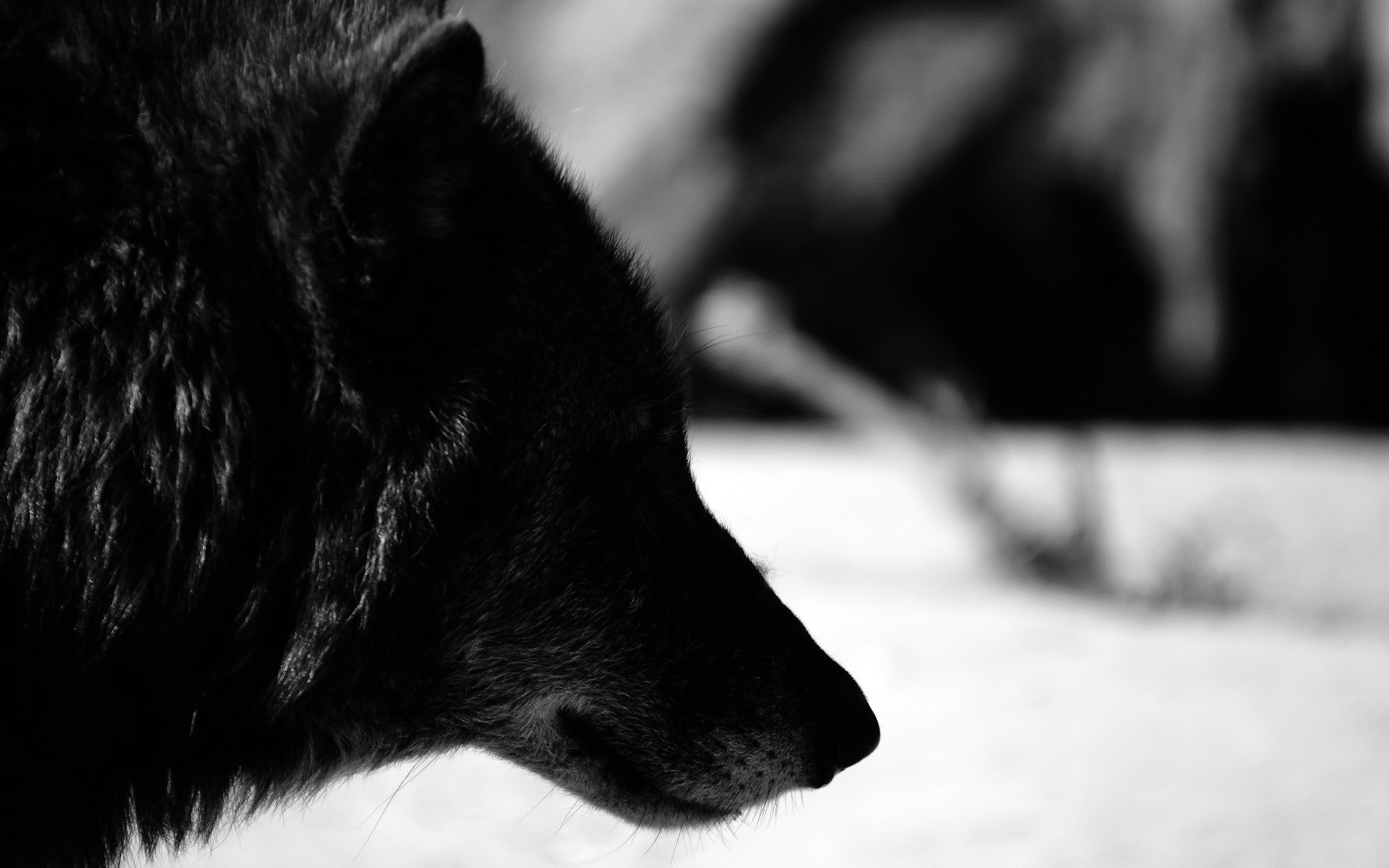 Res: 1920x1200, black wolf pictures wallpaper