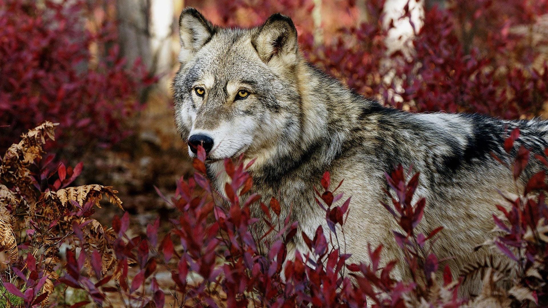 Res: 1920x1080, Wolf HD Wallpaper. « »