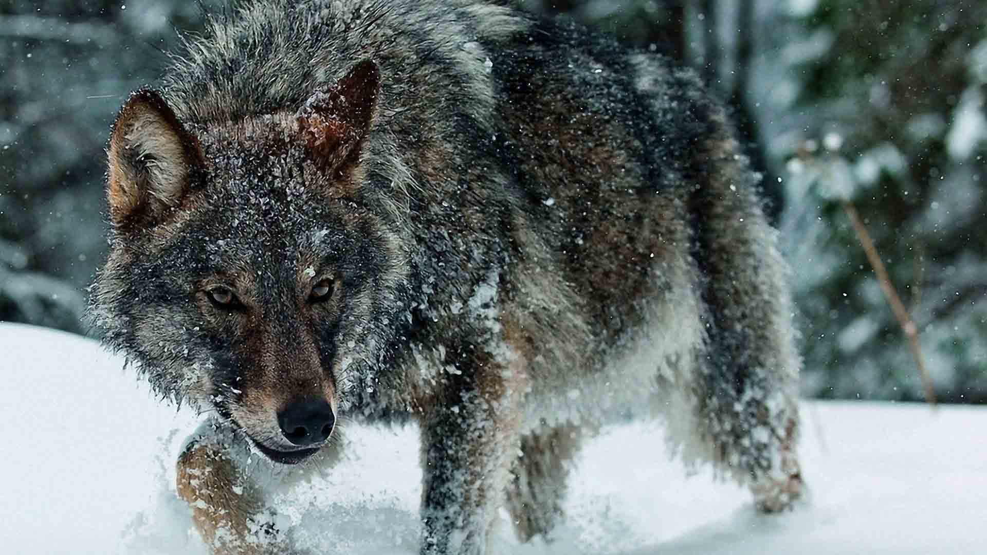 Res: 1920x1080, Animal Wallpapers. Download the following Full HD Wolf ...