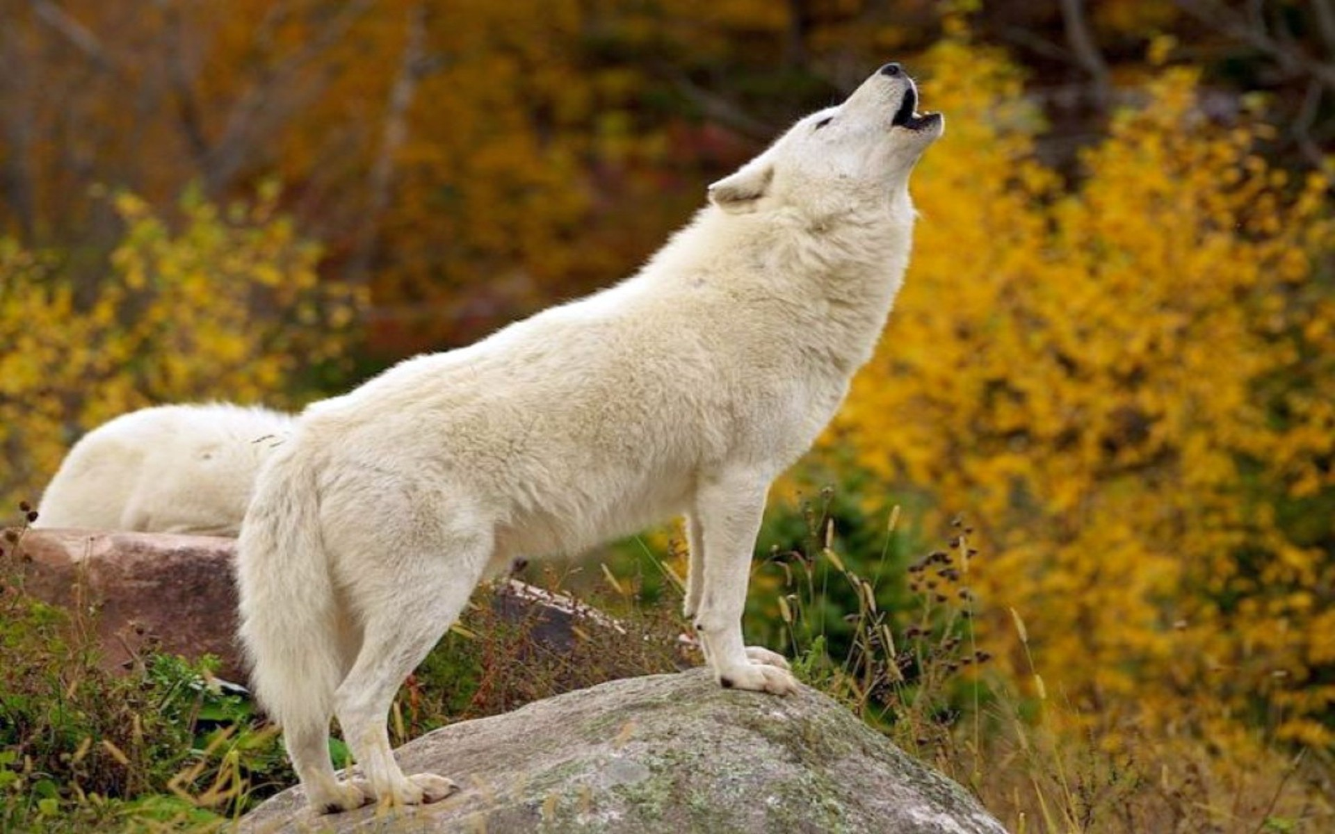 Res: 1920x1200, Other: White Wolves Animal Nature Howling Wolf Wallpaper For .