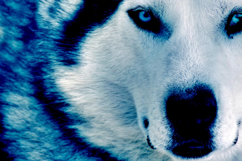 Res: 2816x1880, Winter Wolf HD dekstop wallpapers - Winter Wolf