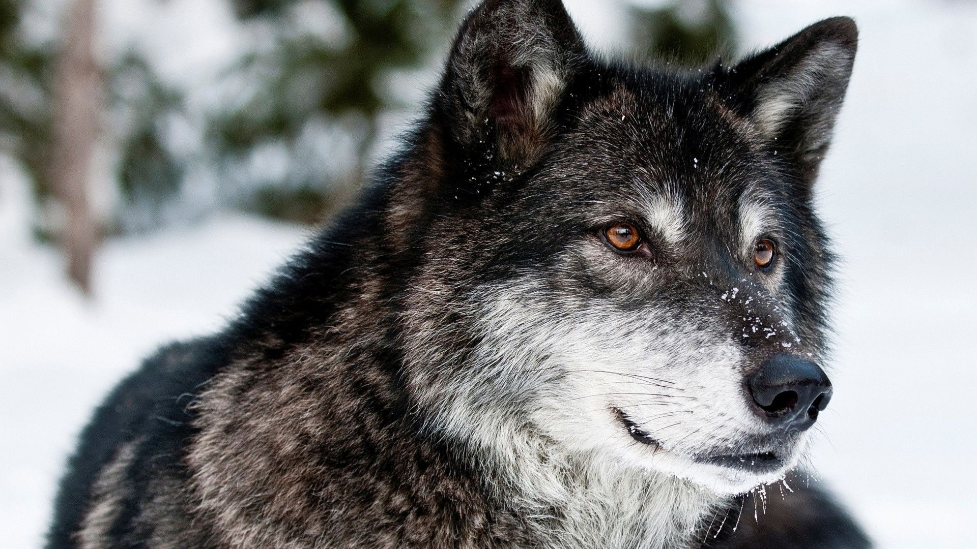 Res: 1920x1080, Wolf-HD-Backgrounds-×768-Cool-Wolf-Backgrounds-Adorab-wallpaper-wpt72010252