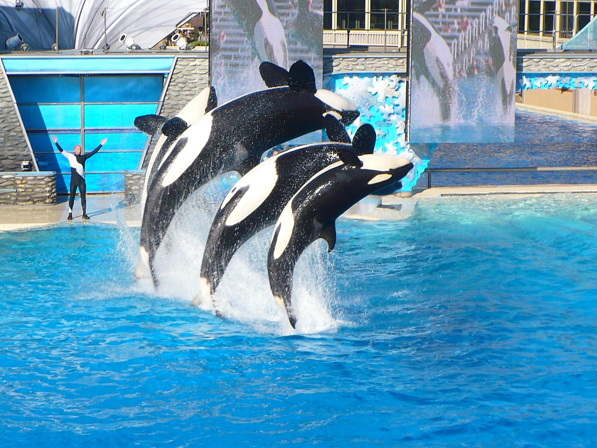 Res: 2048x1536, Shamu Show at Sea World in San Diego, CA.