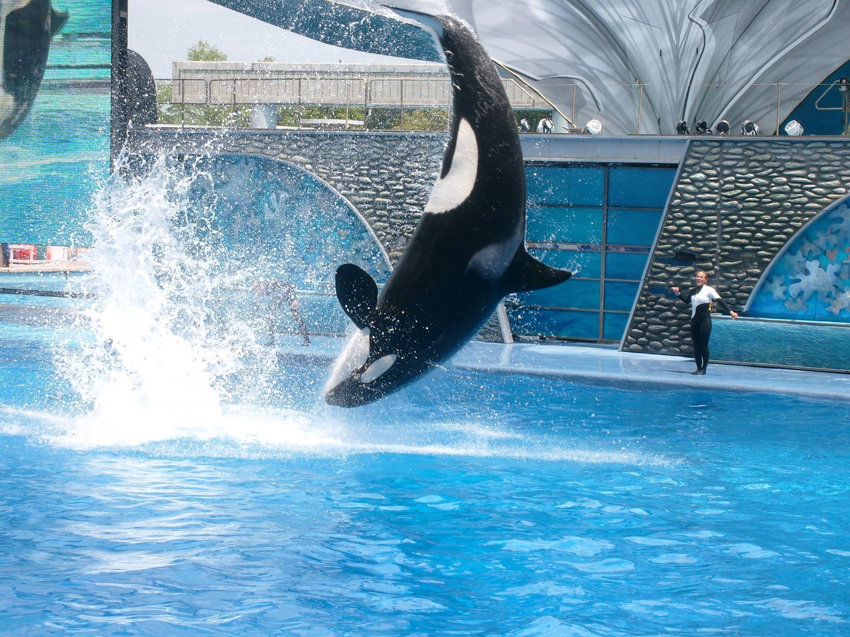 Res: 2765x2074, File:Shamu at SeaWorld.JPG - Wikimedia Commons